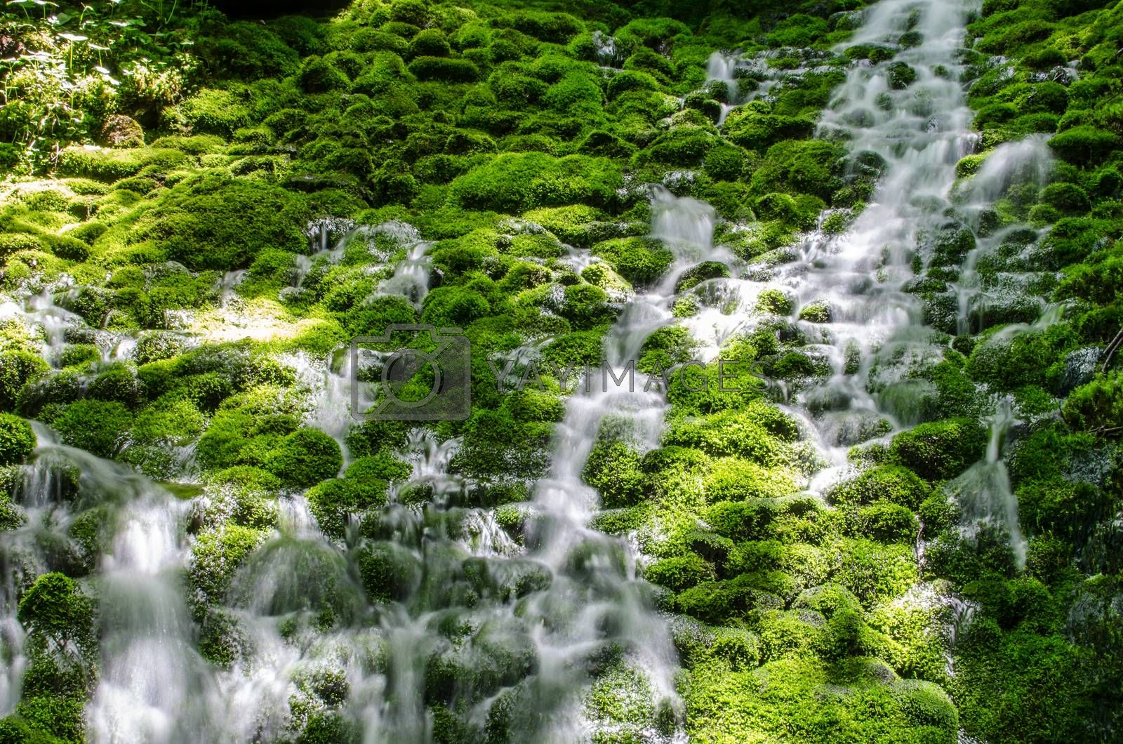 Royalty free image of dense moss in the water by thomaseder