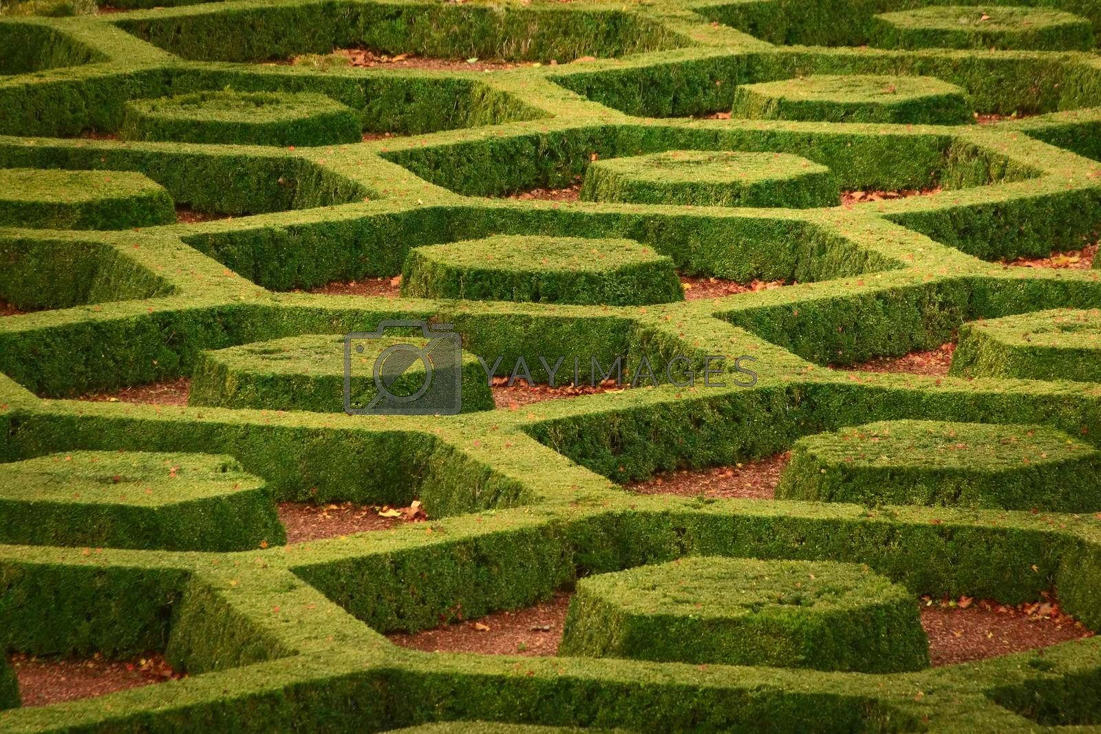 Royalty free image of Green, manicured privets in hexagonal patterns at the Botanical Garden of Brussels, Belgium. by hernan_hyper