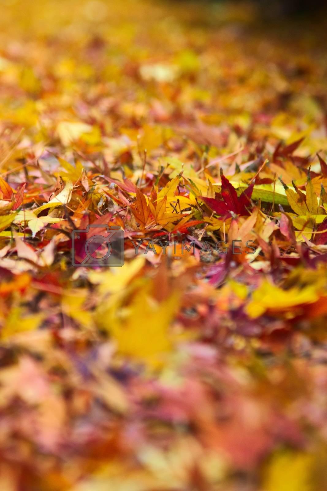 Royalty free image of Yellow, orange autum maple leaves. Seasonal background. by hernan_hyper