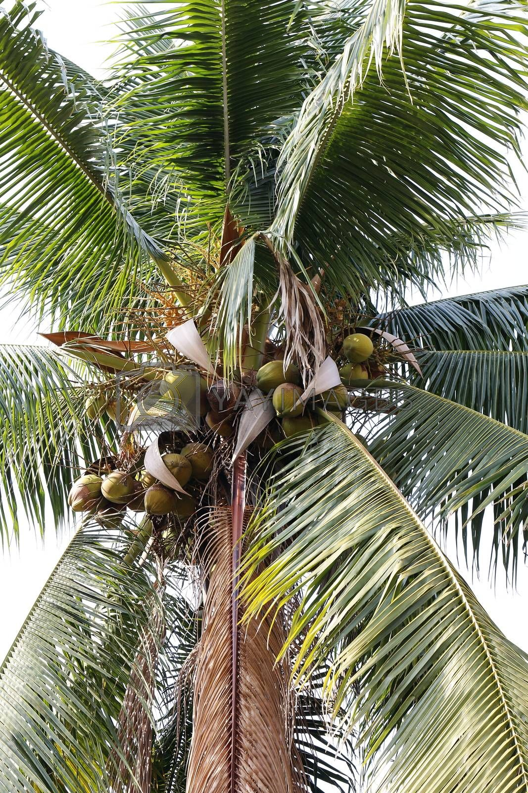 Royalty free image of coconut farm, plantation coconut tree by cgdeaw