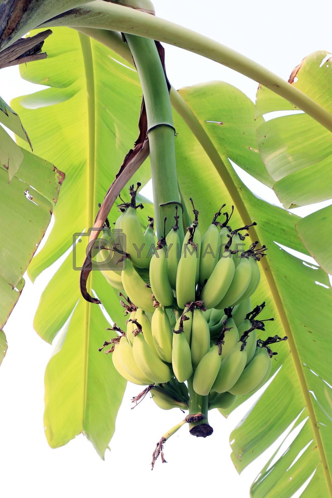 Royalty free image of banana bunch green on tree banana nature by cgdeaw