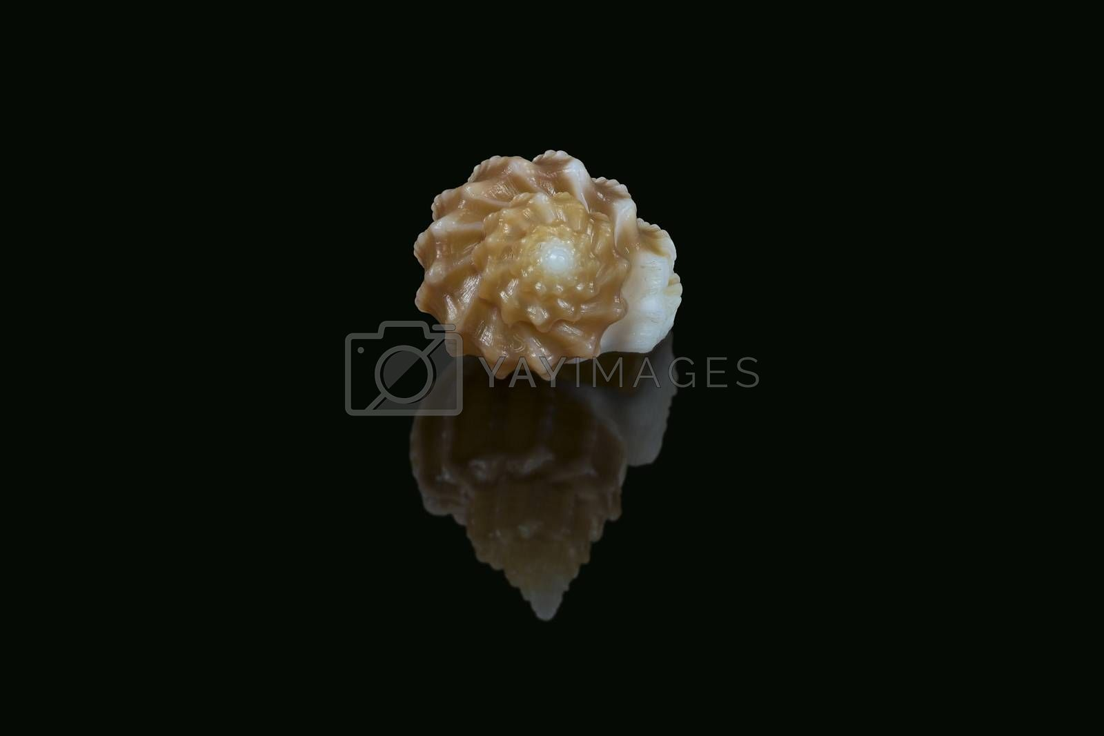 Side view of Shell of Scalptia bicolor or Trigonostoma bicolor on black background. It is a marine gastropod mollusk in the family of Cancellariidae, genus of sea snails. L1,8xW1,2x0H0,9 cm