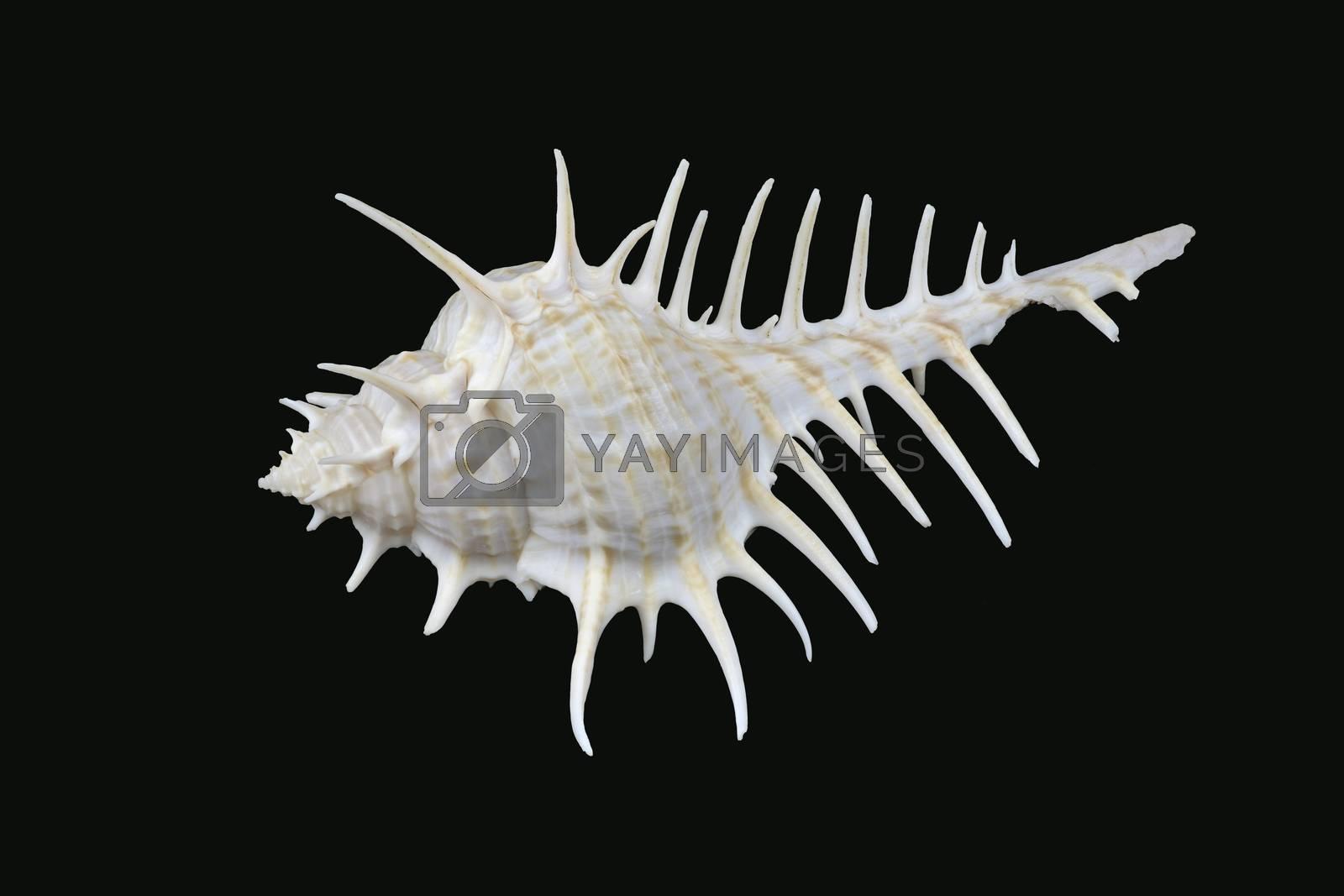 Murex scolopax sea snail also called Woodcock murex or False Venus Comb. It is a predator and species of the genus Murex are carnivores. Seen in Dubai, UAE (L10,6xH4,9xW5,7cm)