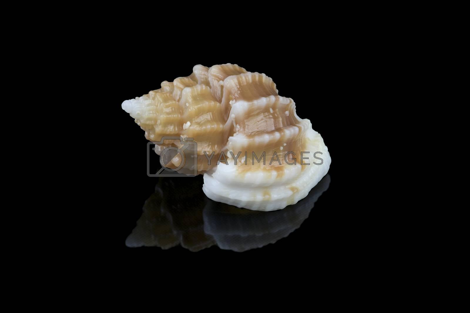 Shell of Scalptia bicolor or Trigonostoma bicolor on black background. It is a marine gastropod mollusk in the family of Cancellariidae, genus of sea snails. L1,8xW1,2x0H0,9 cm