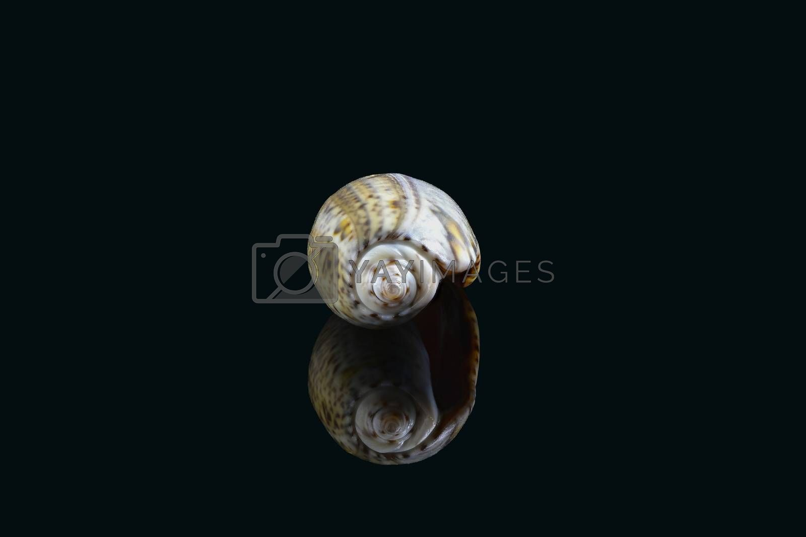 Olive snail (Olividae); A smooth, glossy shell with a large cylindrical whorl and a small conical spire at one end. They come in many colors and are predatory sea snails. Dubai, UAE