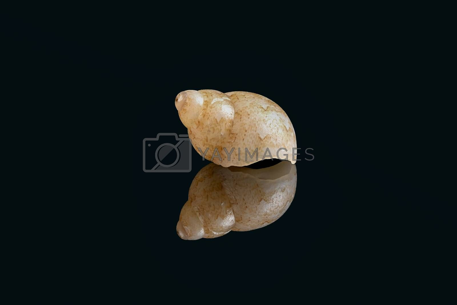 Royalty free image of Juvenile Solid pheasant sea snail on black background, Dubai, UA by GABIS