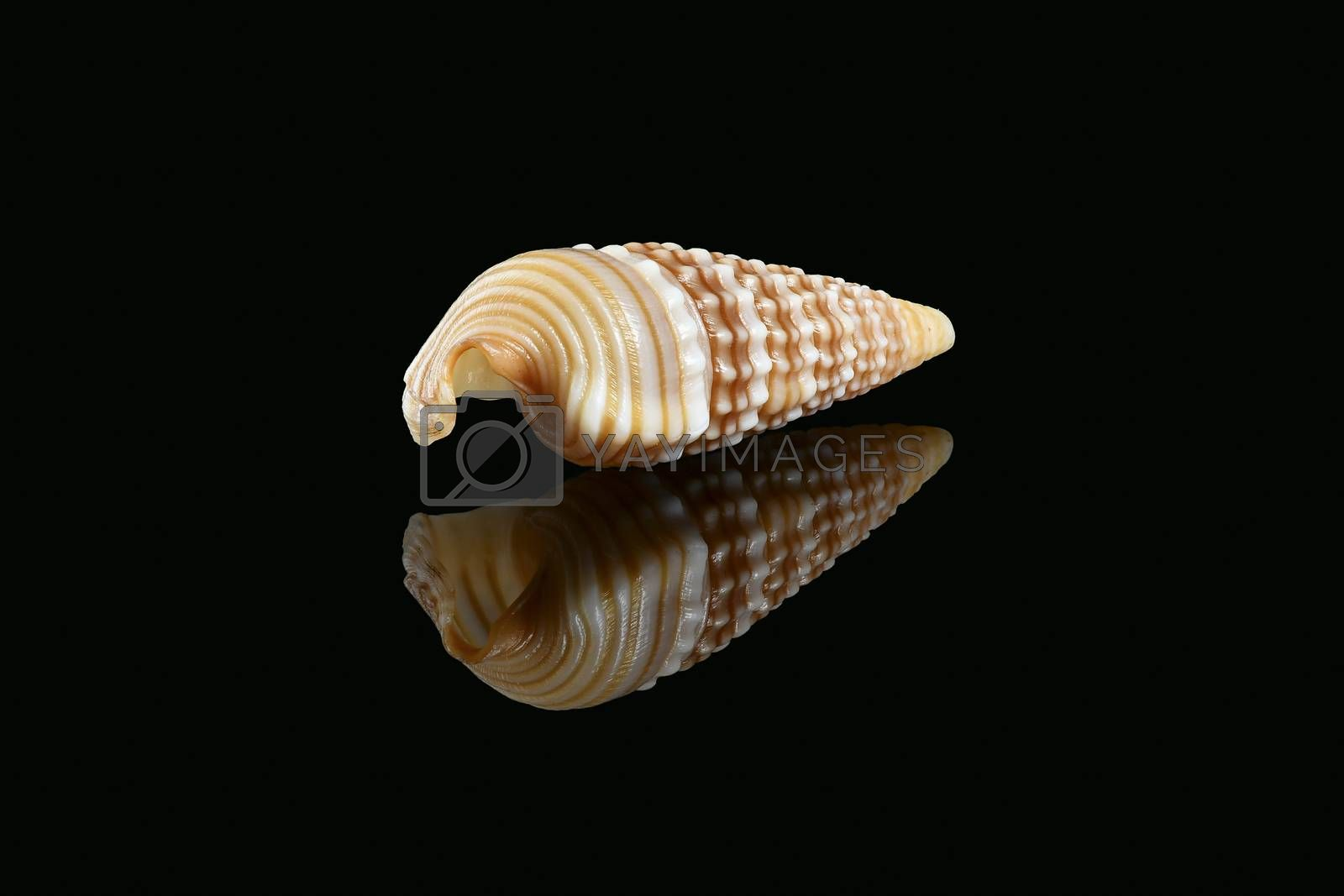 Royalty free image of Girdled horn snail seashell on black background by GABIS