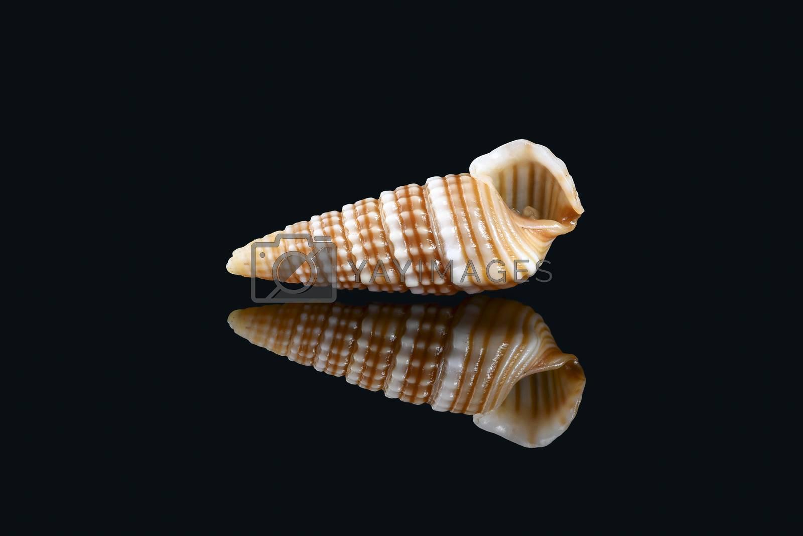 Girdled horn snail seashell on black background by GABIS