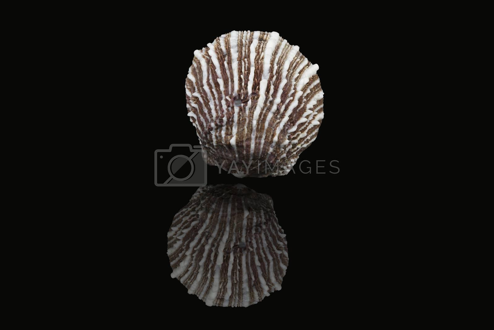 Royalty free image of Seashell, Dubai, United Arab Emirates by GABIS