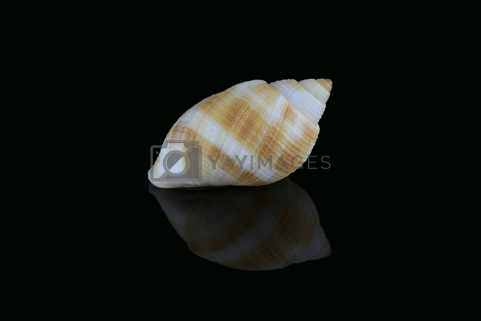 Royalty free image of Nassarius seashell, Dubai, UAE by GABIS