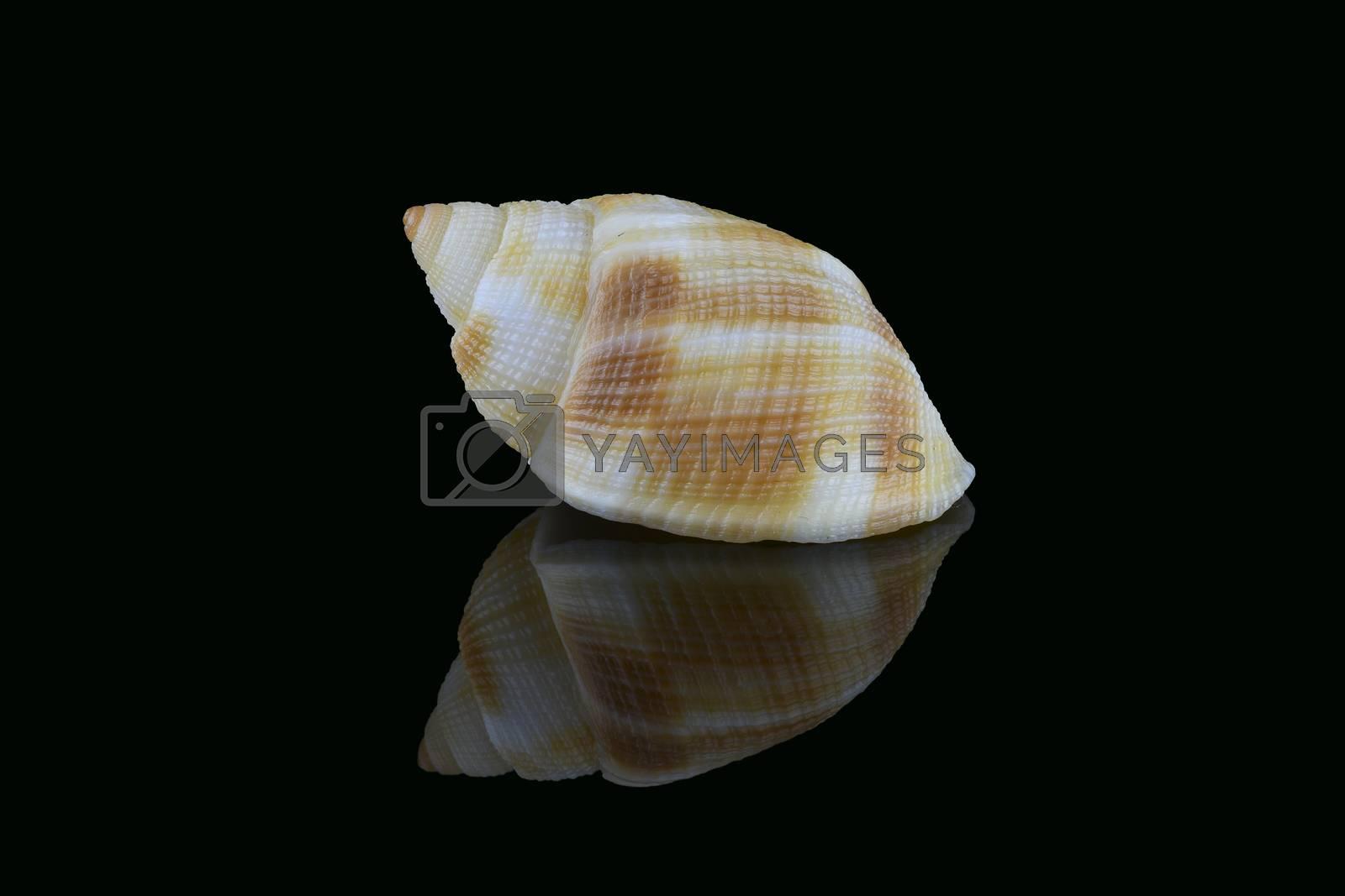 Nassarius seashell, common name nassa mud snails (USA) or dog whelks (UK). Marine gastropod molluscs, Nassariidae family. L3,5xW2xH1,8cm. Found in Dubai beach, UAE