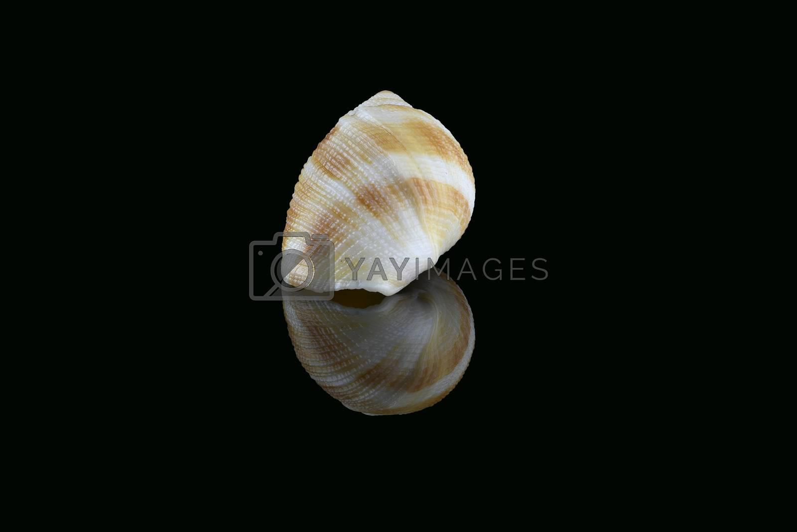 Nassarius seashell, Dubai, UAE by GABIS
