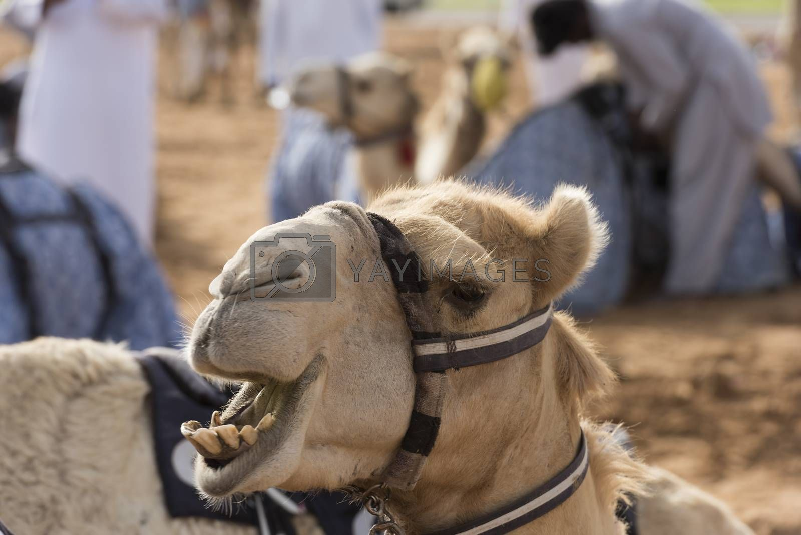 Dubai Camel Race track, UAE by GABIS