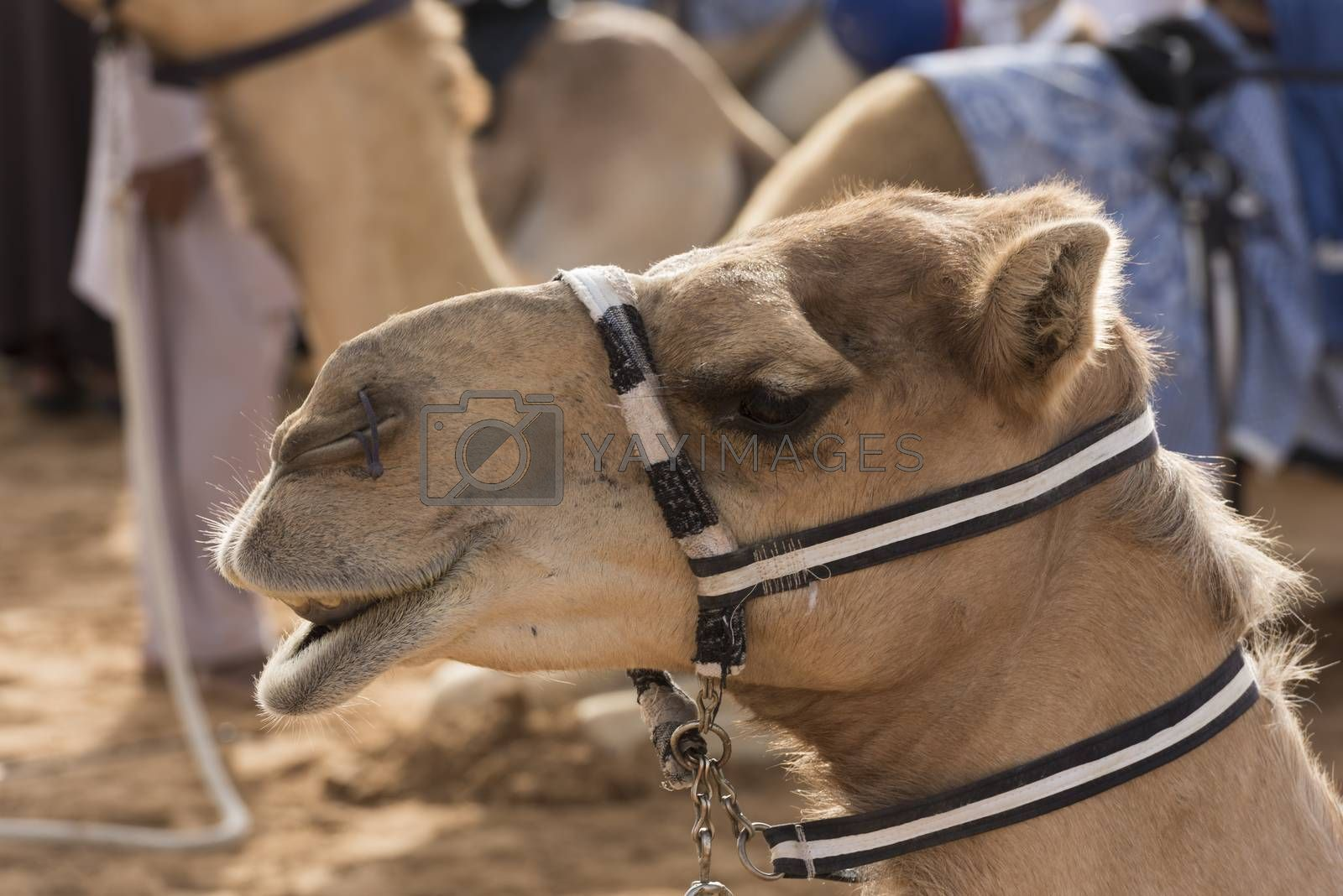 Royalty free image of Dubai Camel Race track, UAE by GABIS