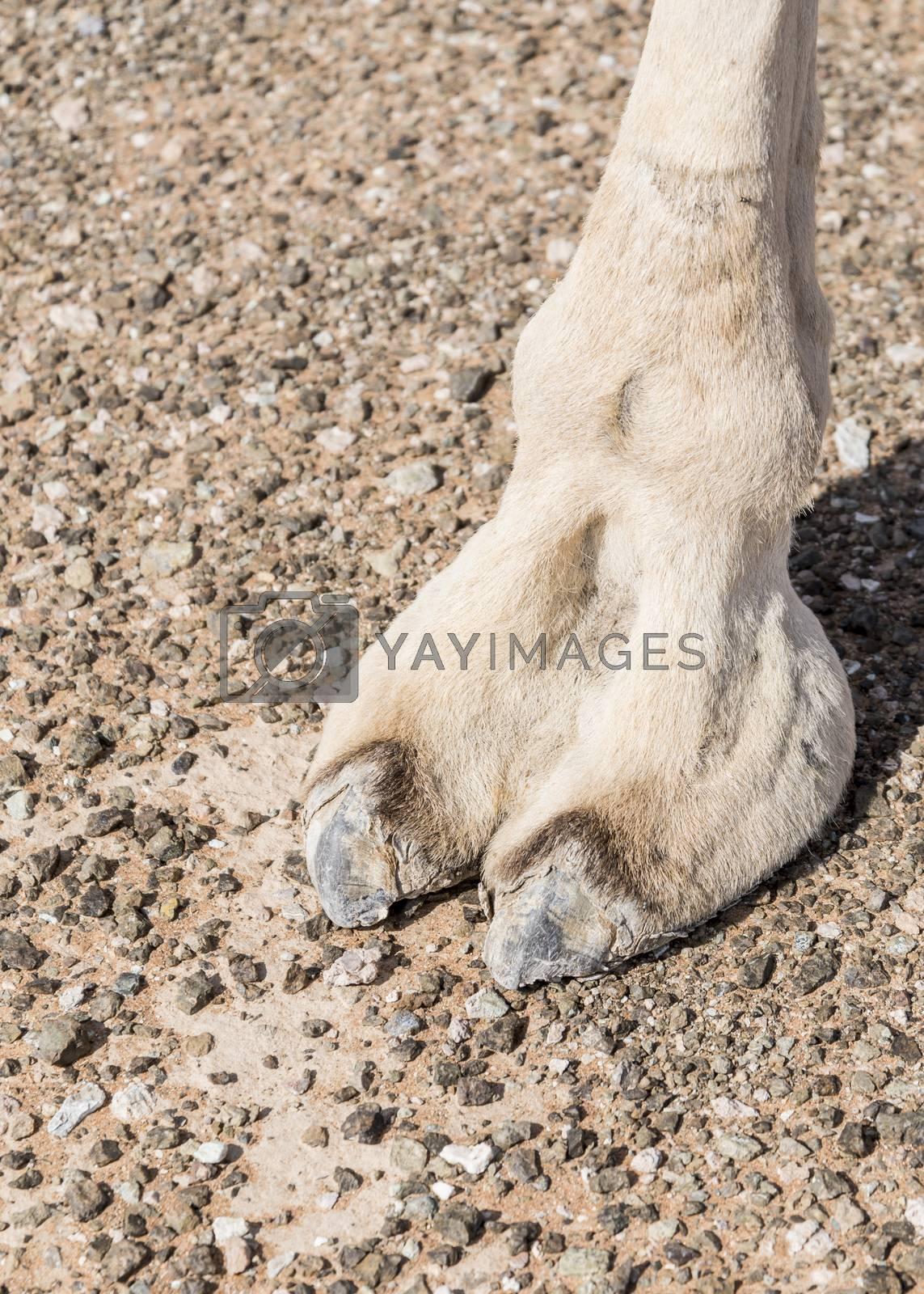 Royalty free image of Camel feet in Sharjah Emirates, UAE by GABIS