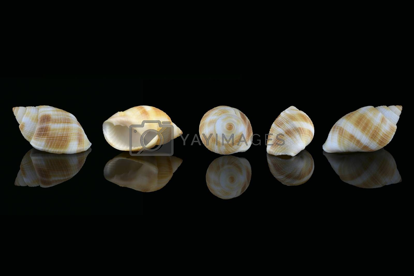 Royalty free image of Nassarius seashell, Dubai, UAE by GABIS