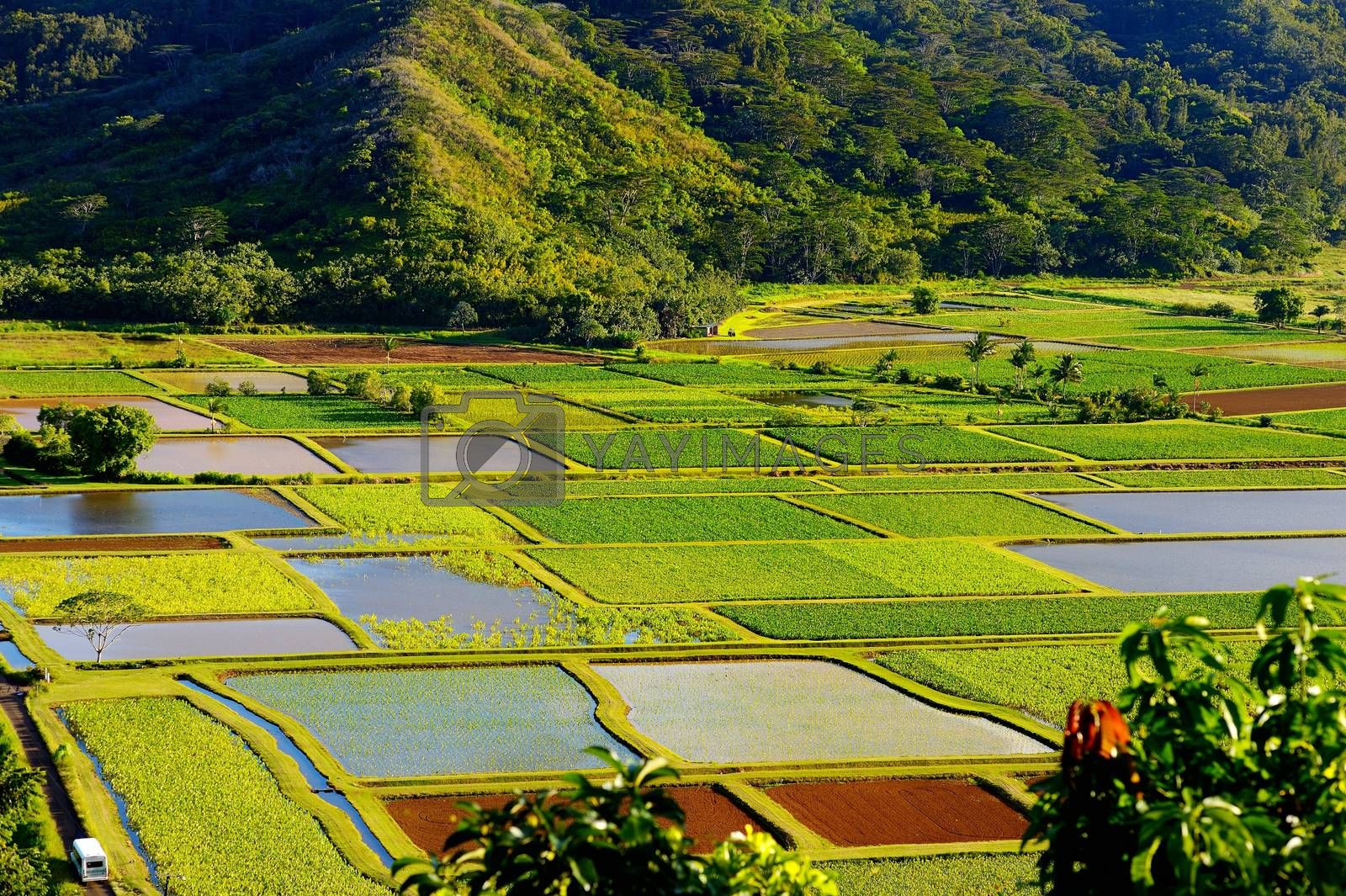 Taro fields in beautiful Hanalei Valley on Kauai island, Hawaii