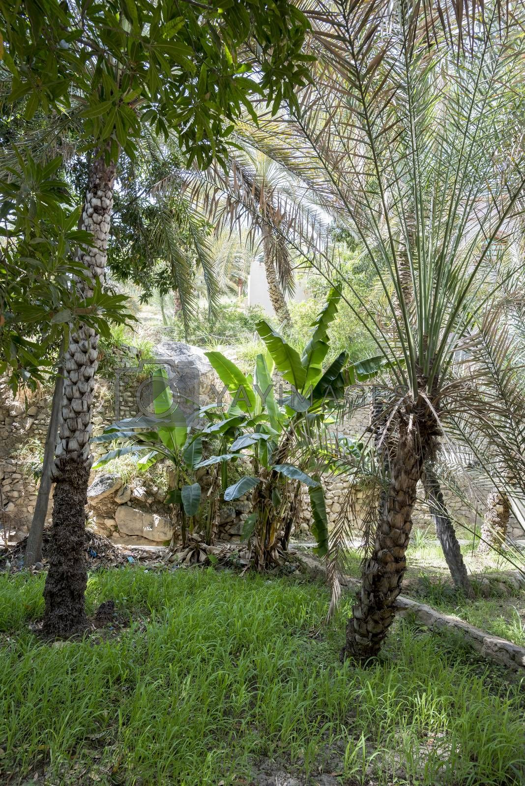 Palm grove and typical arabian garden in Wadi Bani Khalid, Sultanate of Oman. This kind of garden are very common in the region and they are using the water of the river passing just on the side or bringing from small canals up to the location they want.