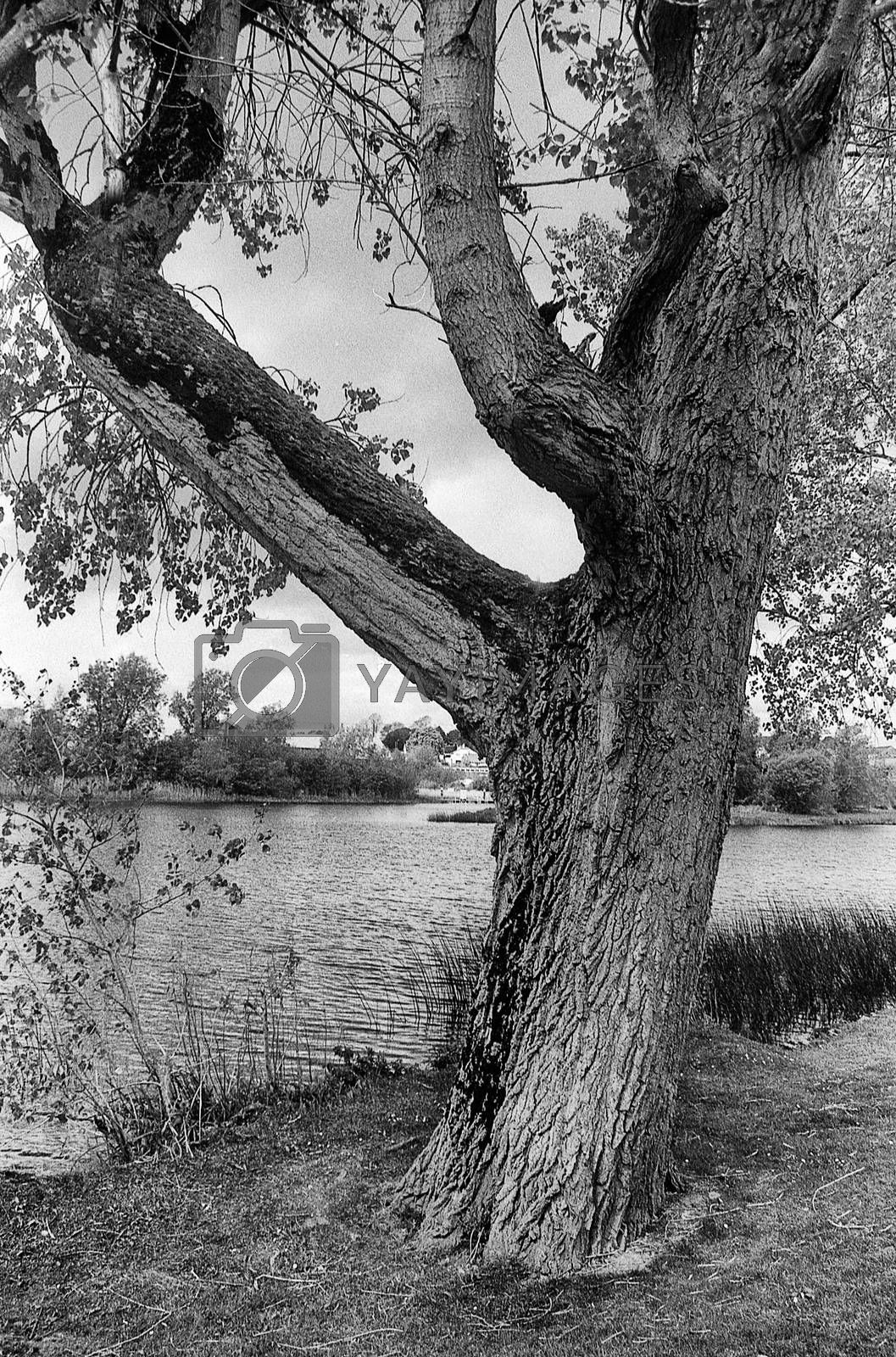 the lonley tree beside the river, view of River Erne, Northern Ireland, in black and white
