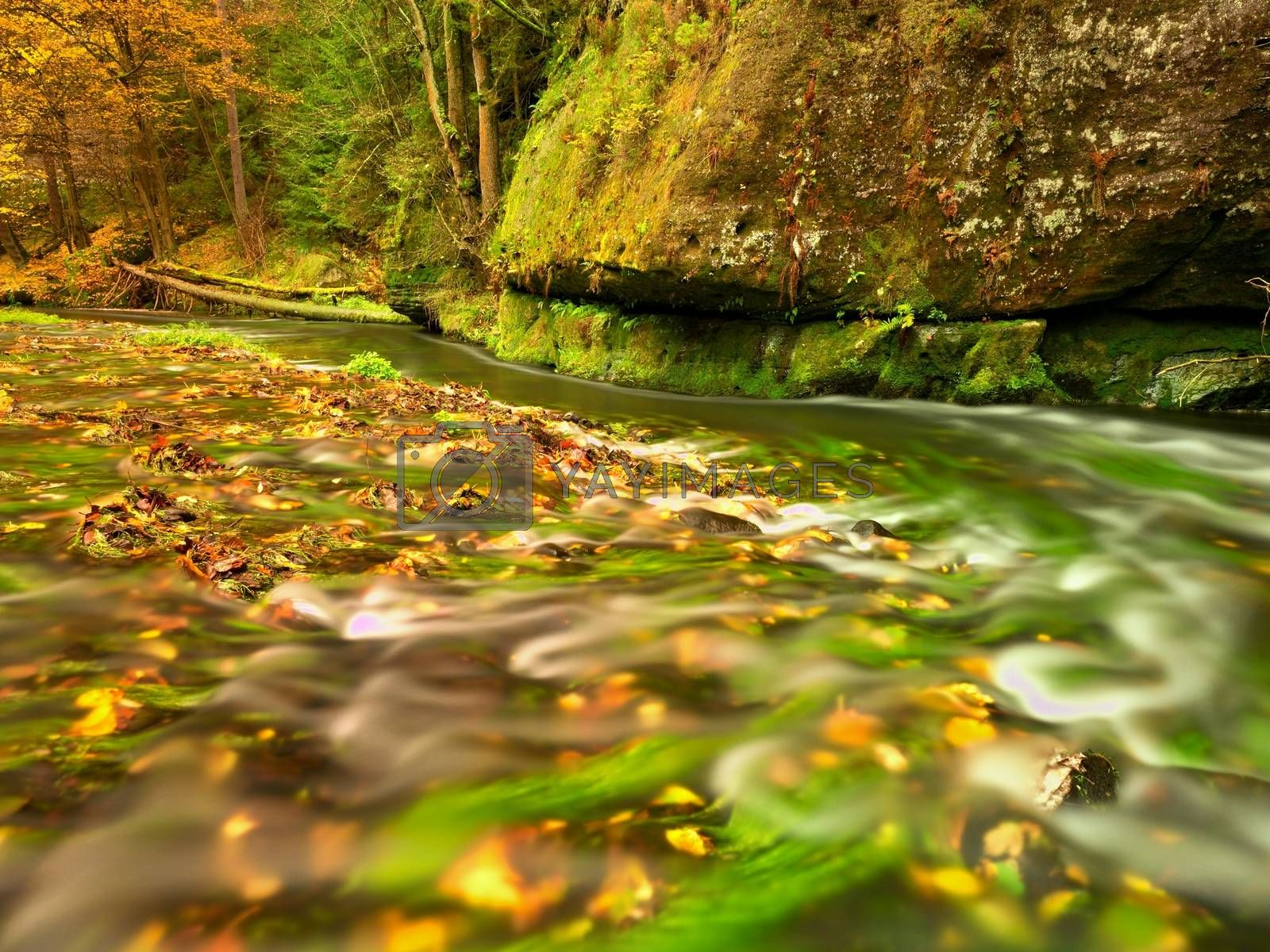Fall season at mountain river. Green algae in  water, colorful autumn  leaves. Mossy boulders on river bank. Autumn colors.