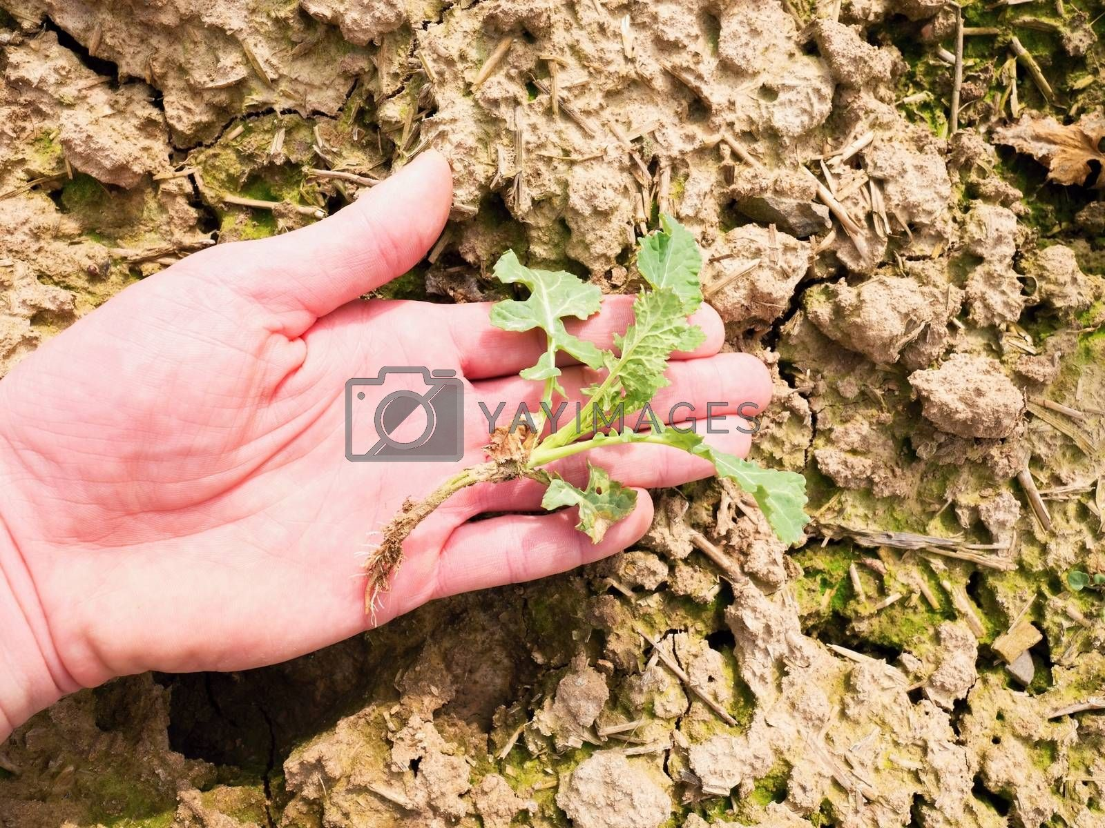 Pink skin hand yanks a small oilseed rape plant from wet humus clay. Man check quality of oilseed rape and roots. Hand touching stalk, leaves and roots.