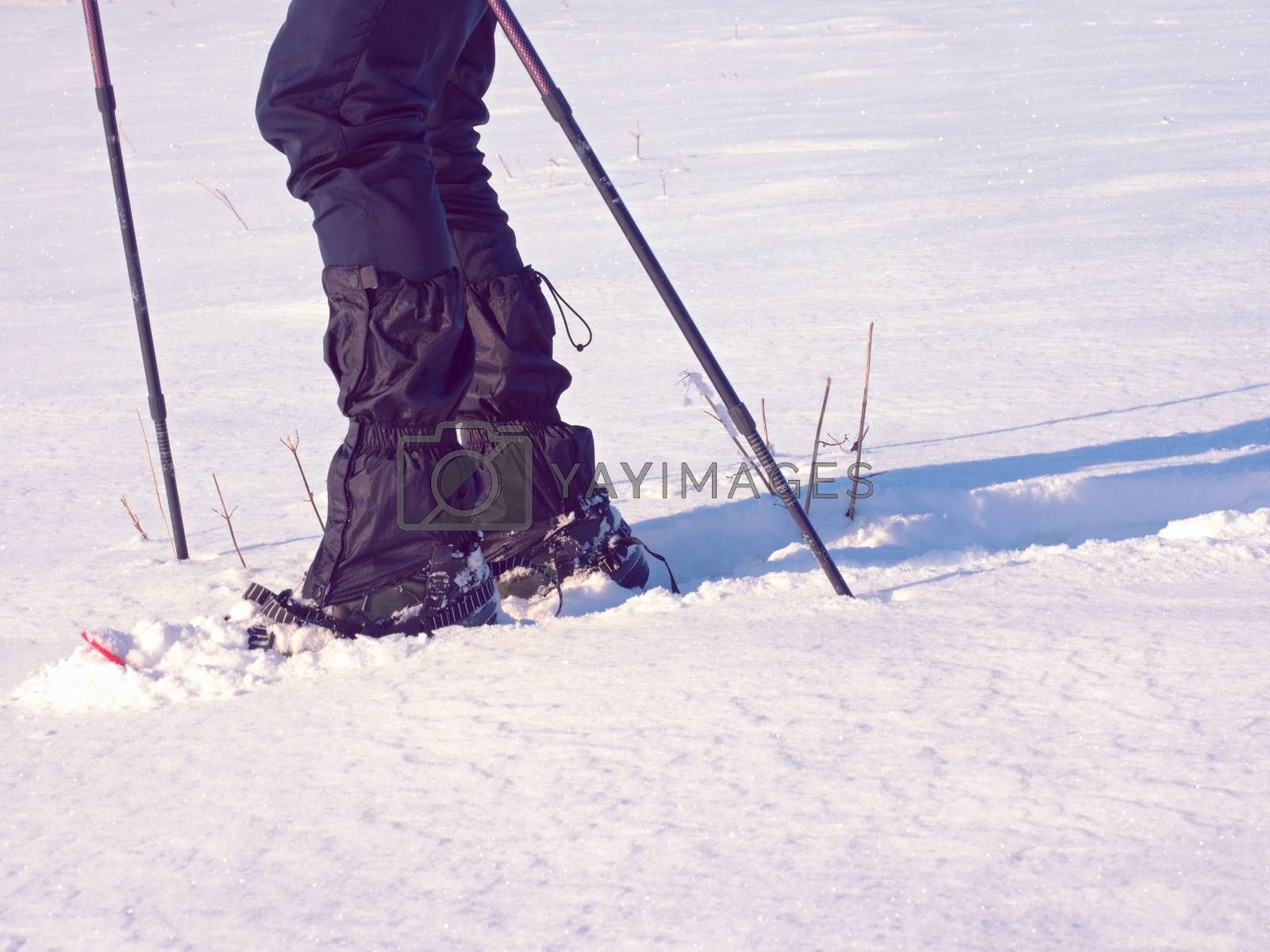 Man legs with snowshoes walk in snow. Detail of winter hike in snowdrift, snowshoeing with trekking poles and shoe cover in powder snow. Red plastic snowshoes.