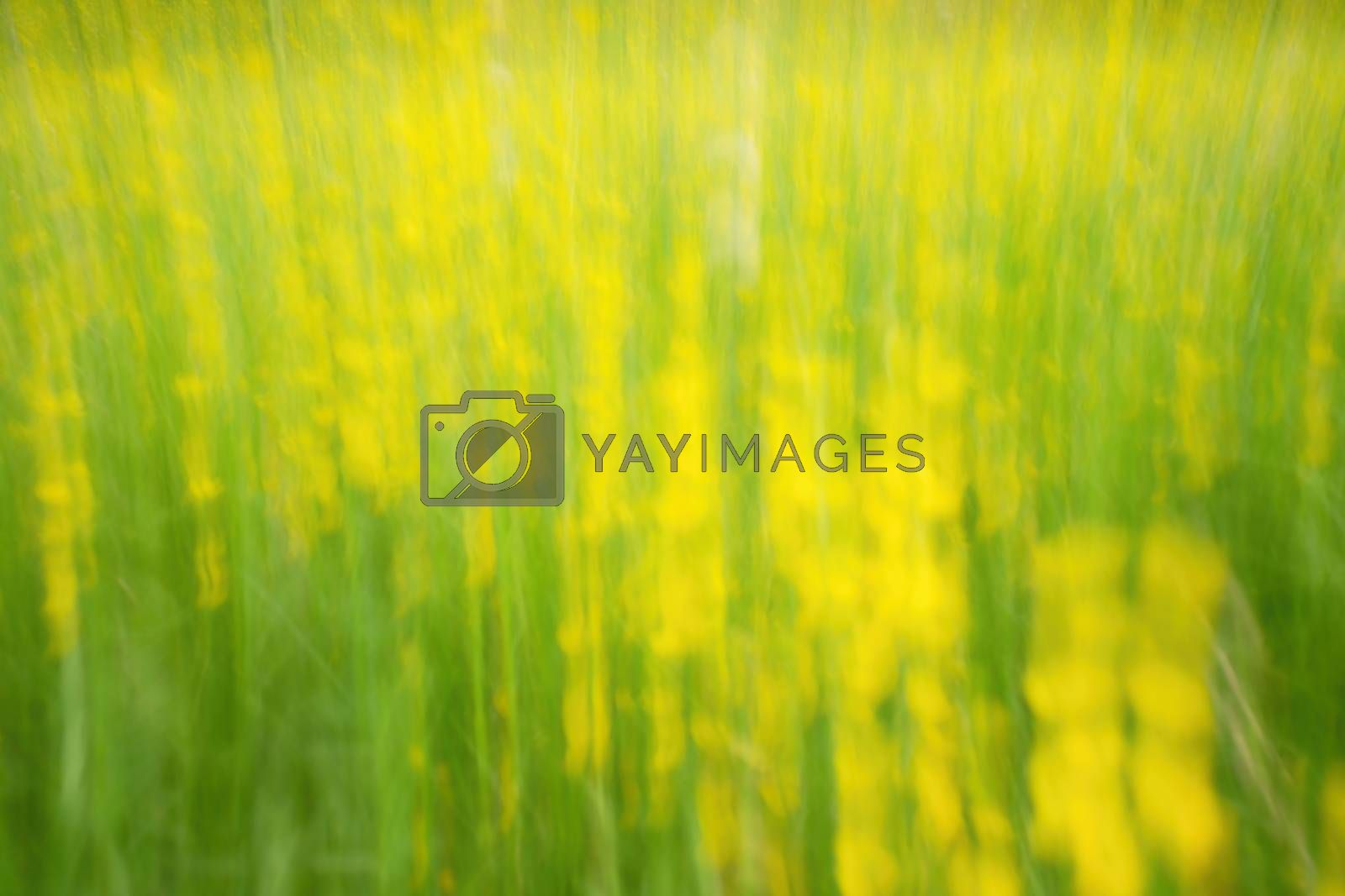Defocused flowers and grass for background. Blurred and de focused fresh yellow blossom and green stalks leaves. Hypnotic blurry effect.