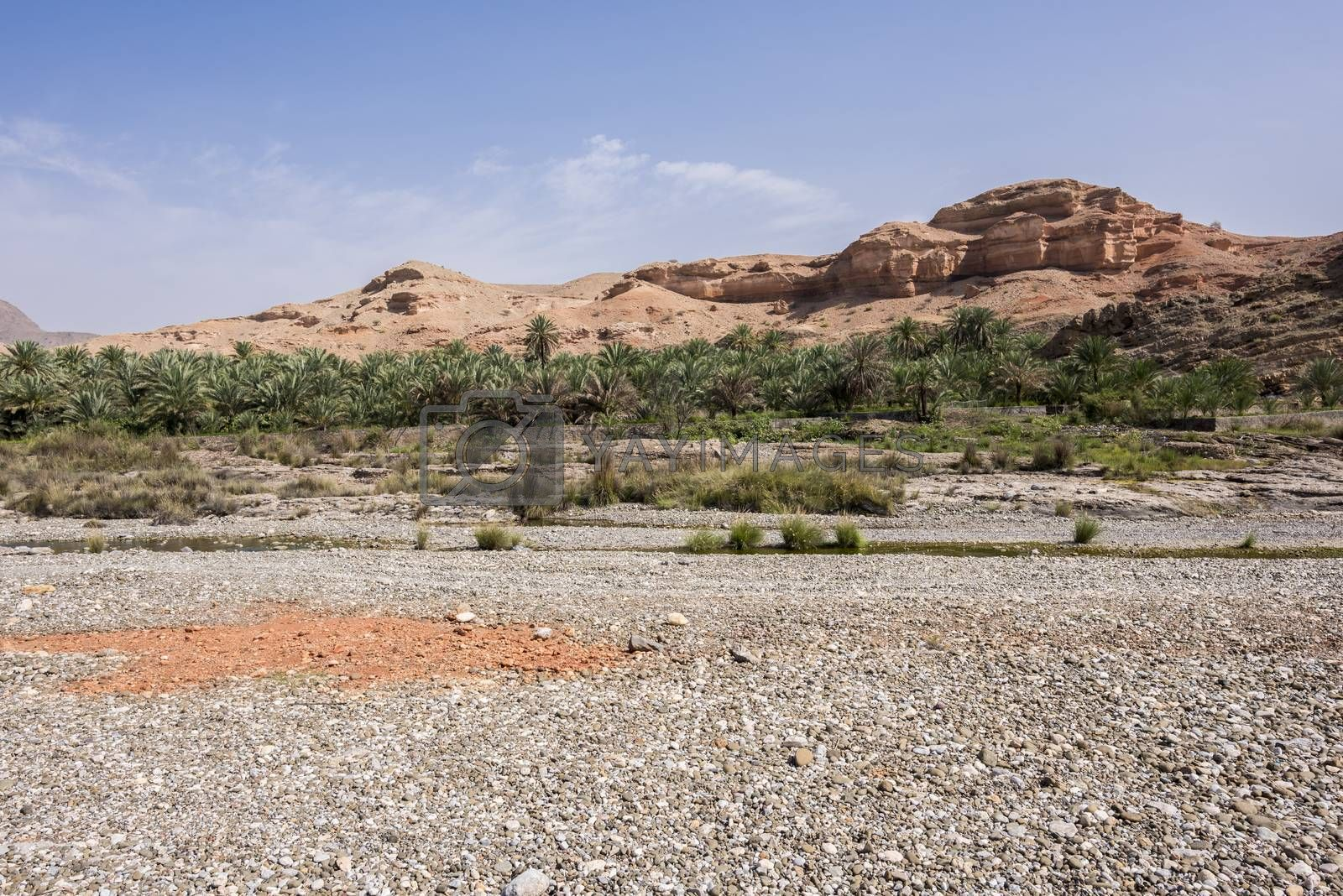 Palm groove near a river and mountain, Al Mazari (village beside Wadi Dayqah Dam), Sultanate of Oman, Middle East