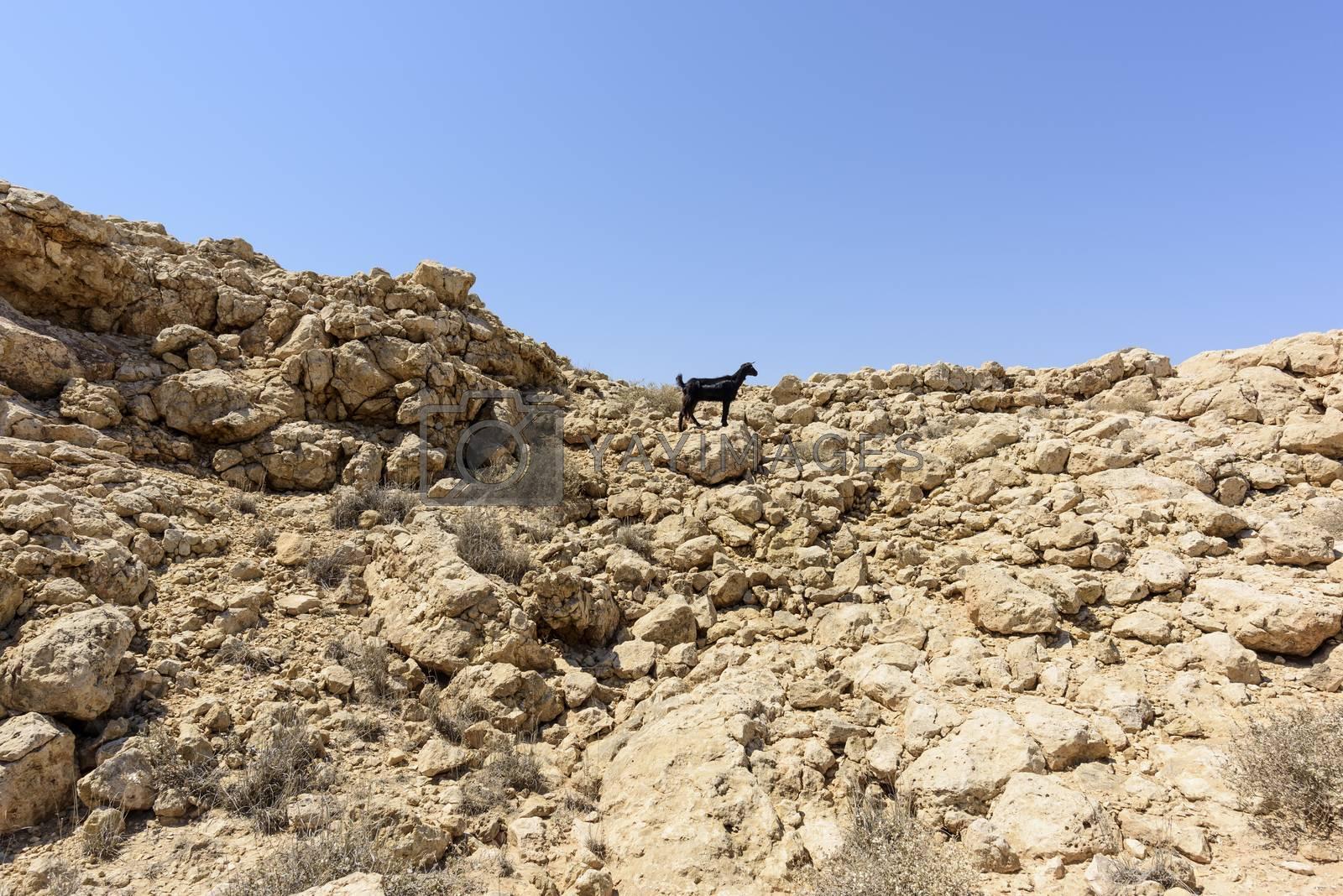 Single black sheep in the mountain, Ras Al jinz, Sultanate of Oman