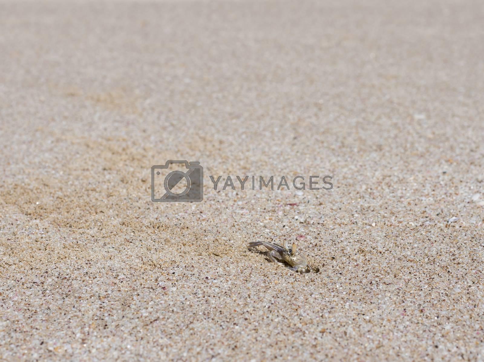 Ghost crab on a beach in Ras Al Jinz, Sultanate of Oman
