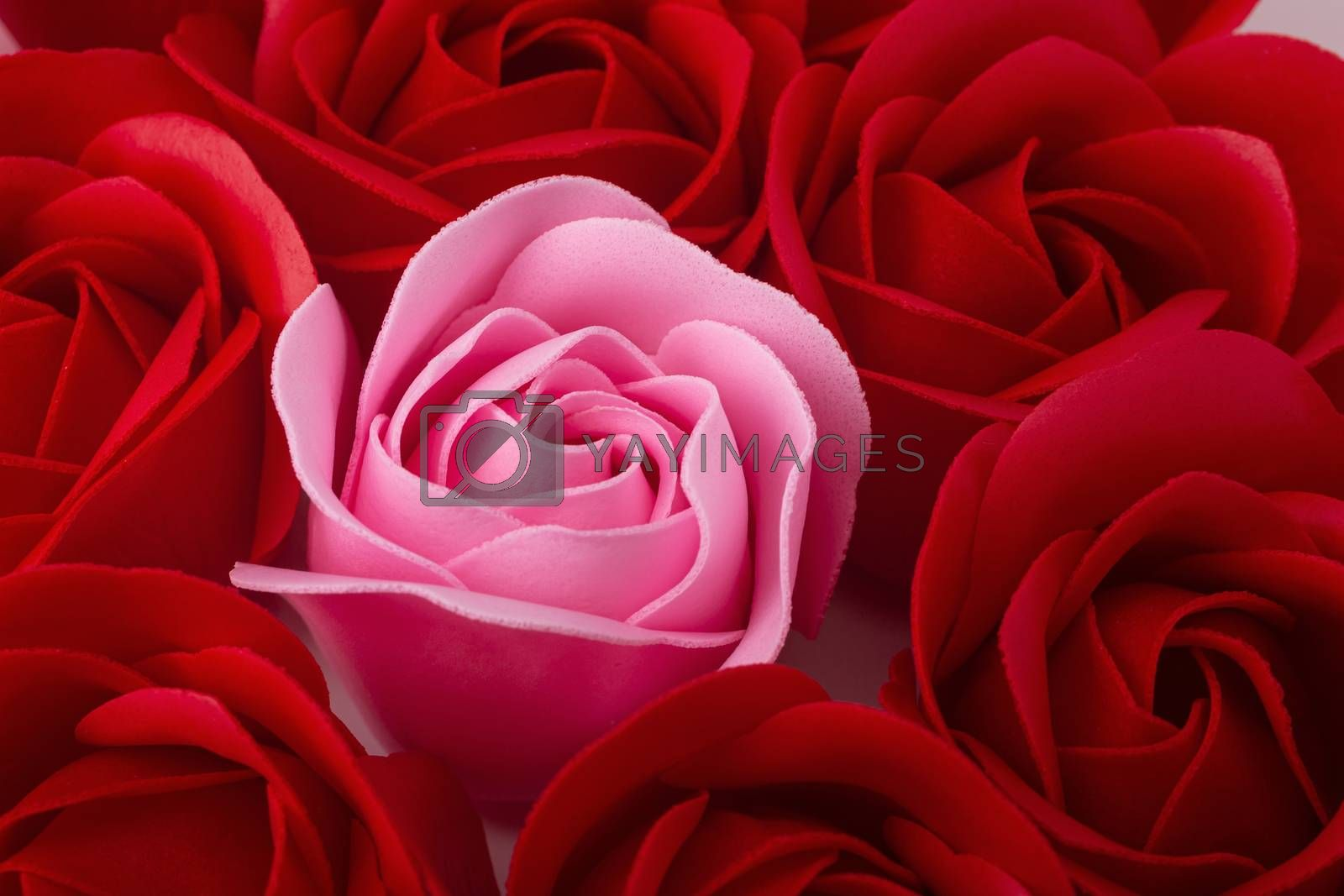 Red and Pink rose blossom isolated on white background. Top View.