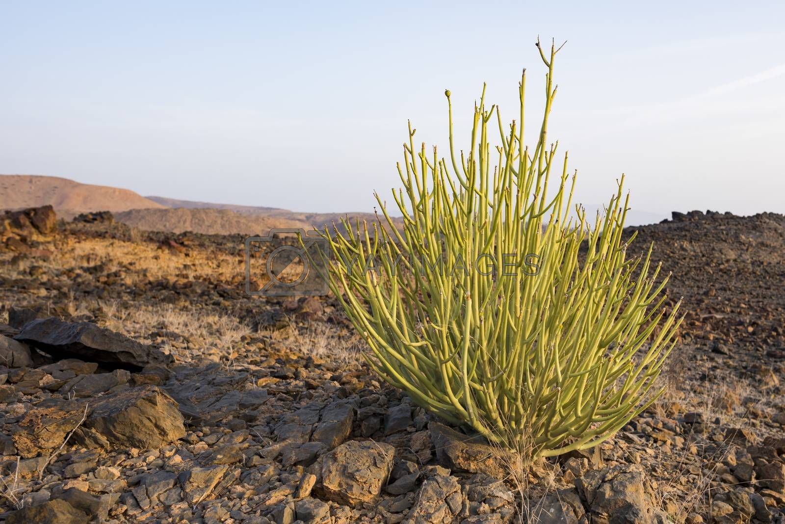 Euphorbia larica (cactus-like in appearance) is one of the commoner plants in Oman (where it is known as isbaq), found from sea-level to 1500m. Like many other Euphorbiaceae, it produces abundant white milky sap ( latex-like) when the stems are broken. This sap is not an irritant, but may be poisonous when ingested.