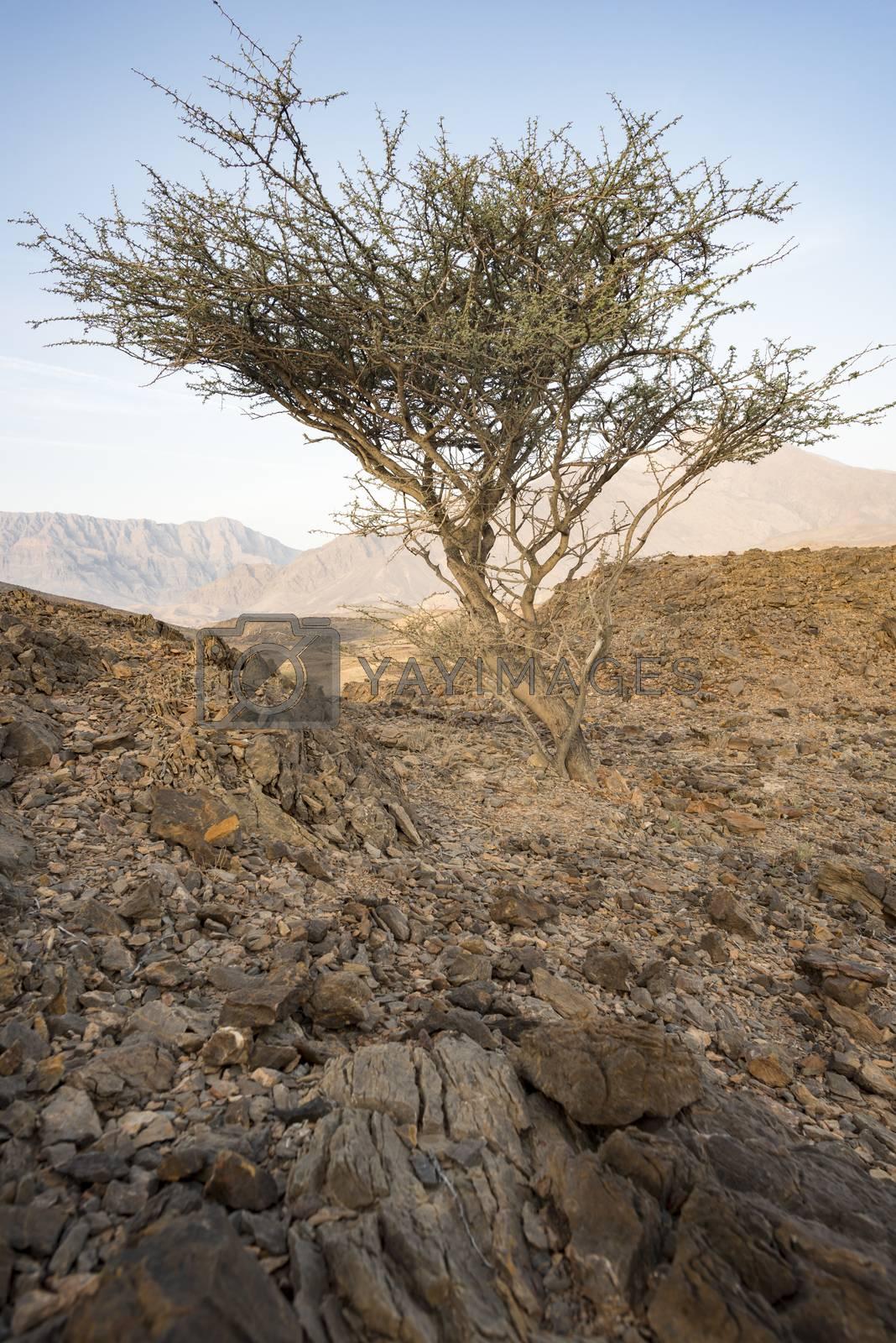 Acacia Tree between rocks in a Wadi near Wadi Dayqah Dam in the Sultanate of Oman.