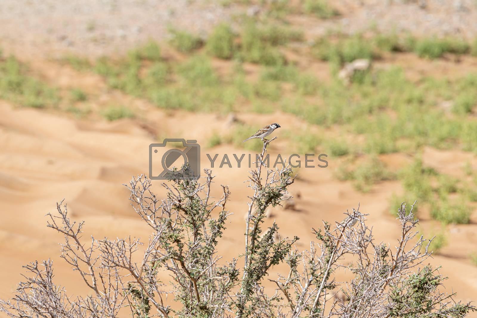 Bird near Al Faya Mountain, Sharjah Emirates, United Arab Emirates (UAE), Middle East, Arabian Peninsula