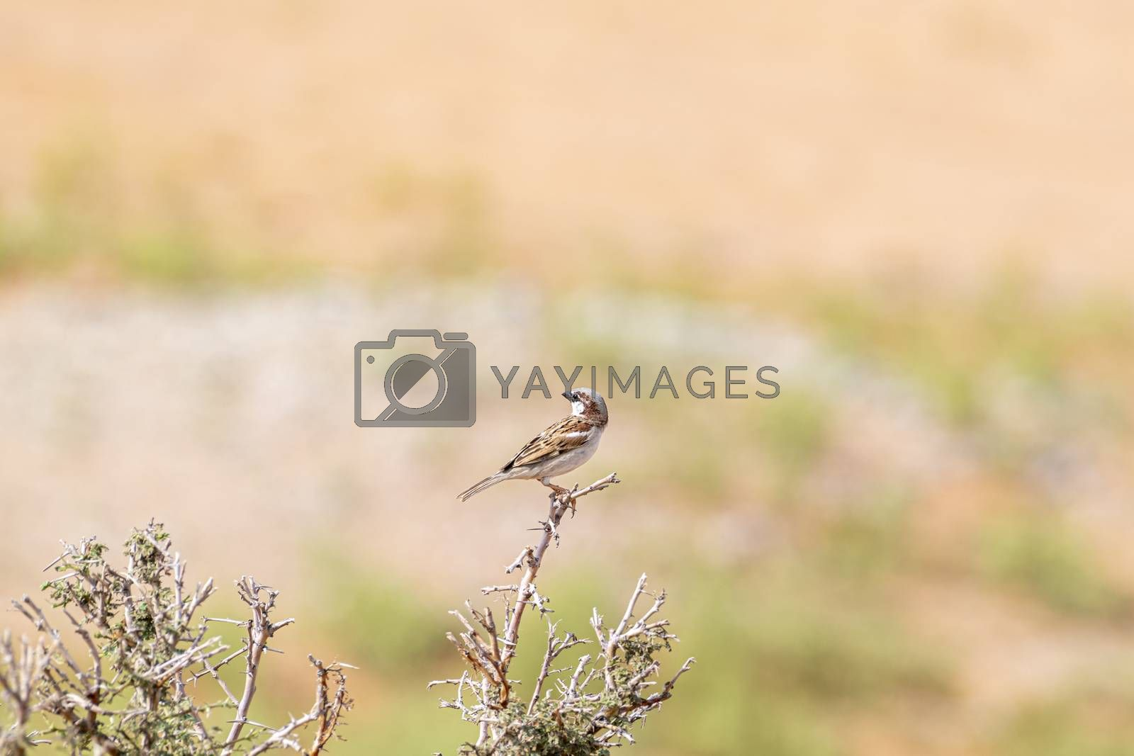 Bird near Al Faya Mountain, Sharjah Emirates, United Arab Emirates (UAE), Middle East, Arabian Peninsula