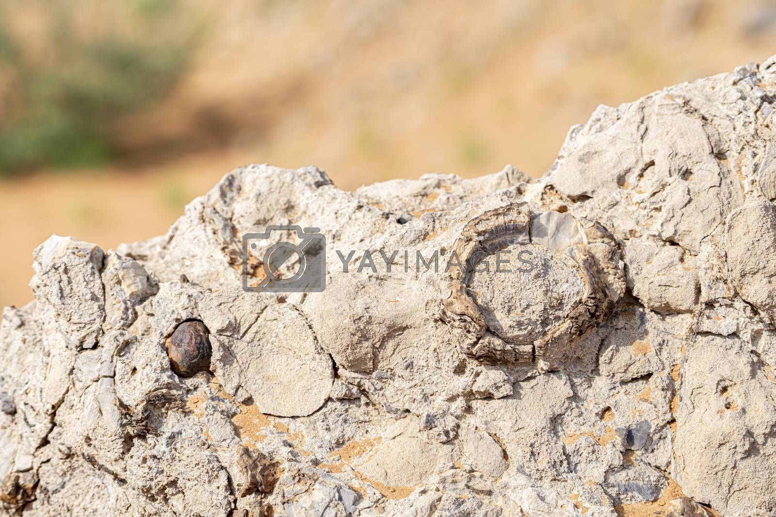Fossils seen in the rocky desert near Jebel Al Faya, Sharja Emirates, United Arab Emirates, UAE