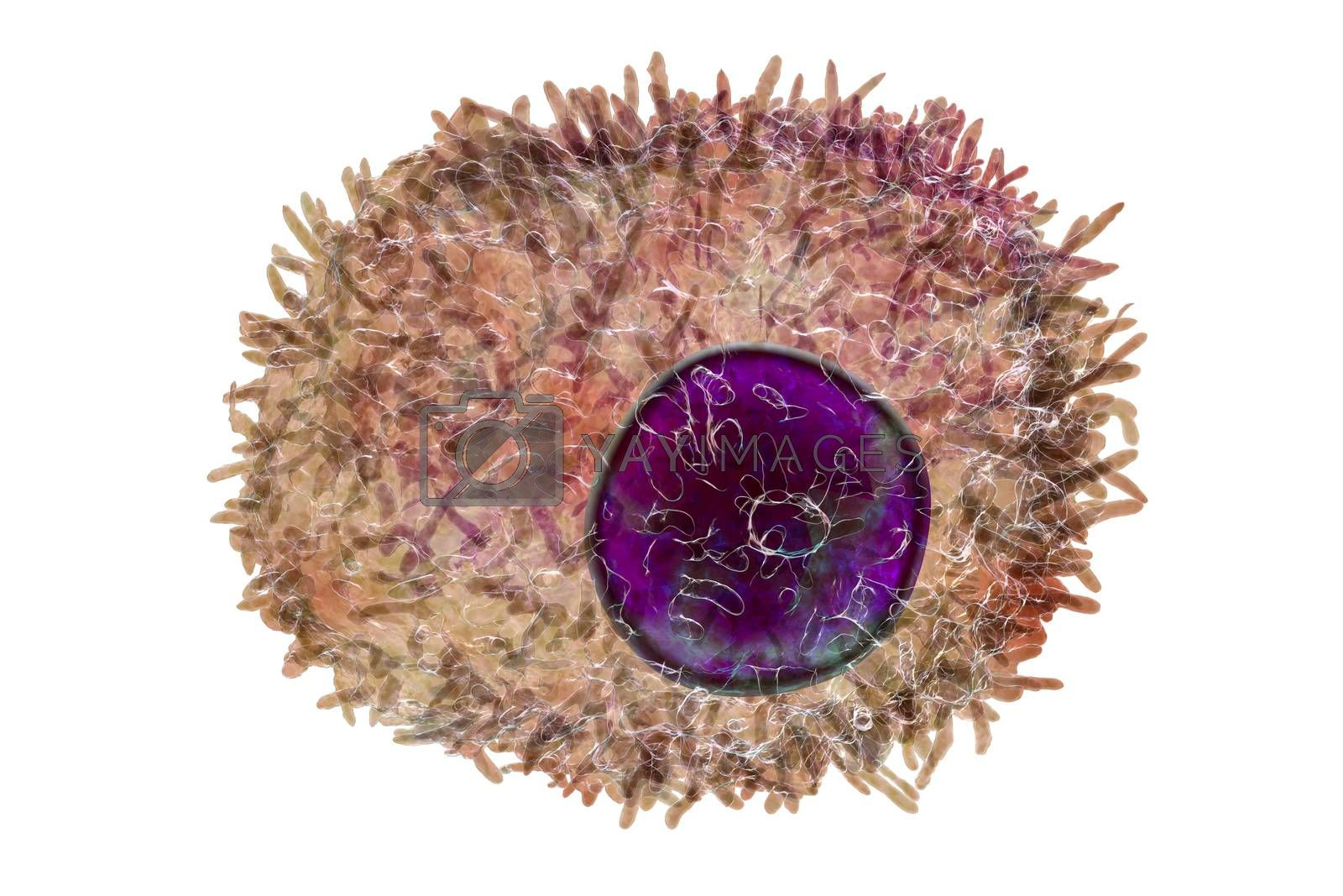 Plasma cell, a white blood cell, differenciated from B lymphocyte that secretes antibodies, 3D illustration