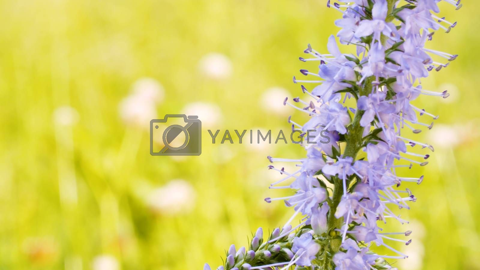 Close up of the beautiful lilac wildflower in summer on the lawn. Macro shooting. Seasonal scene. Natural background
