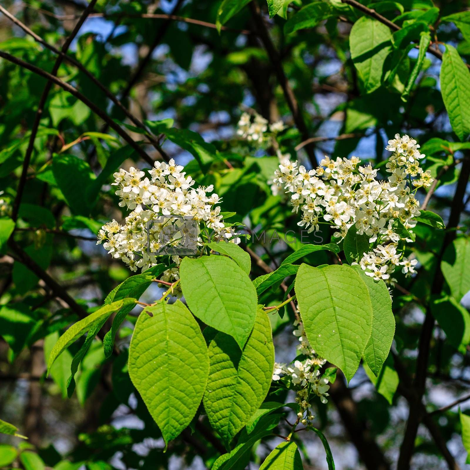 bird-cherry tree at spring season, May