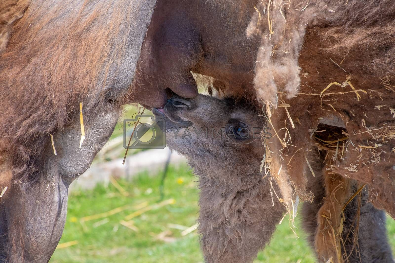 Baby Bactrian Camel feeding from the mother