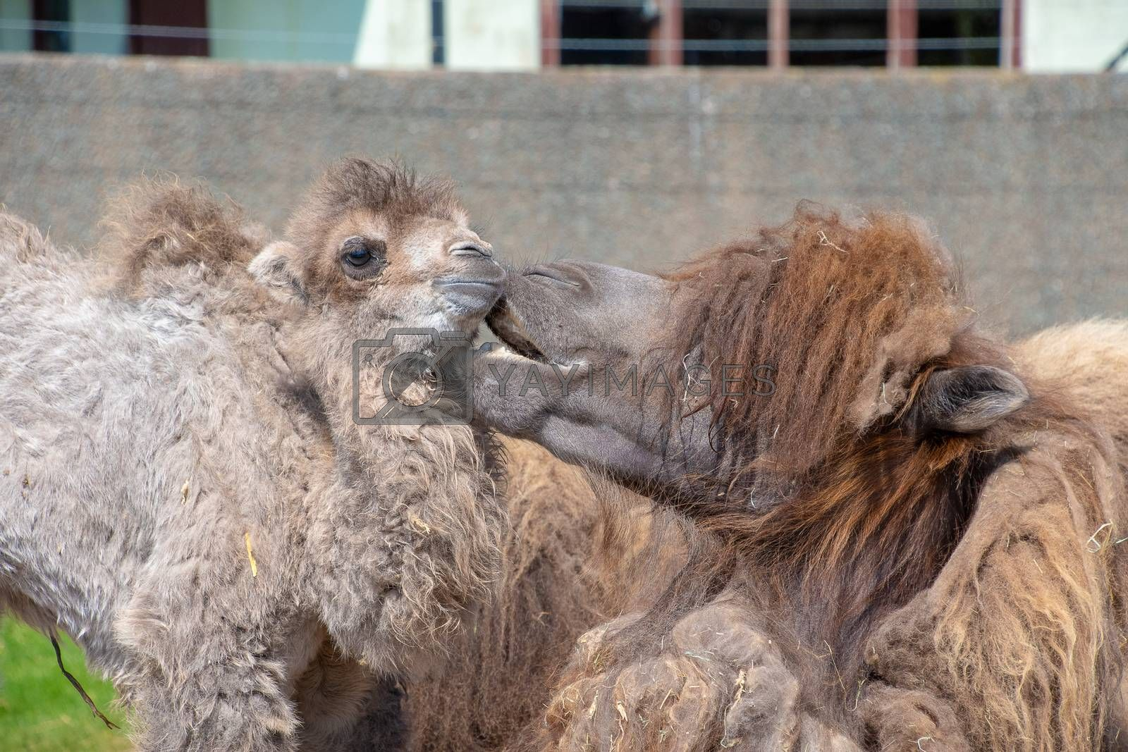 Bactrian Camel with her baby in the sunshine