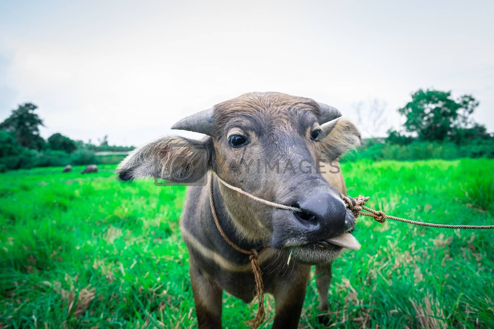 Thai buffalo stick out tongue in green grass field, animal head