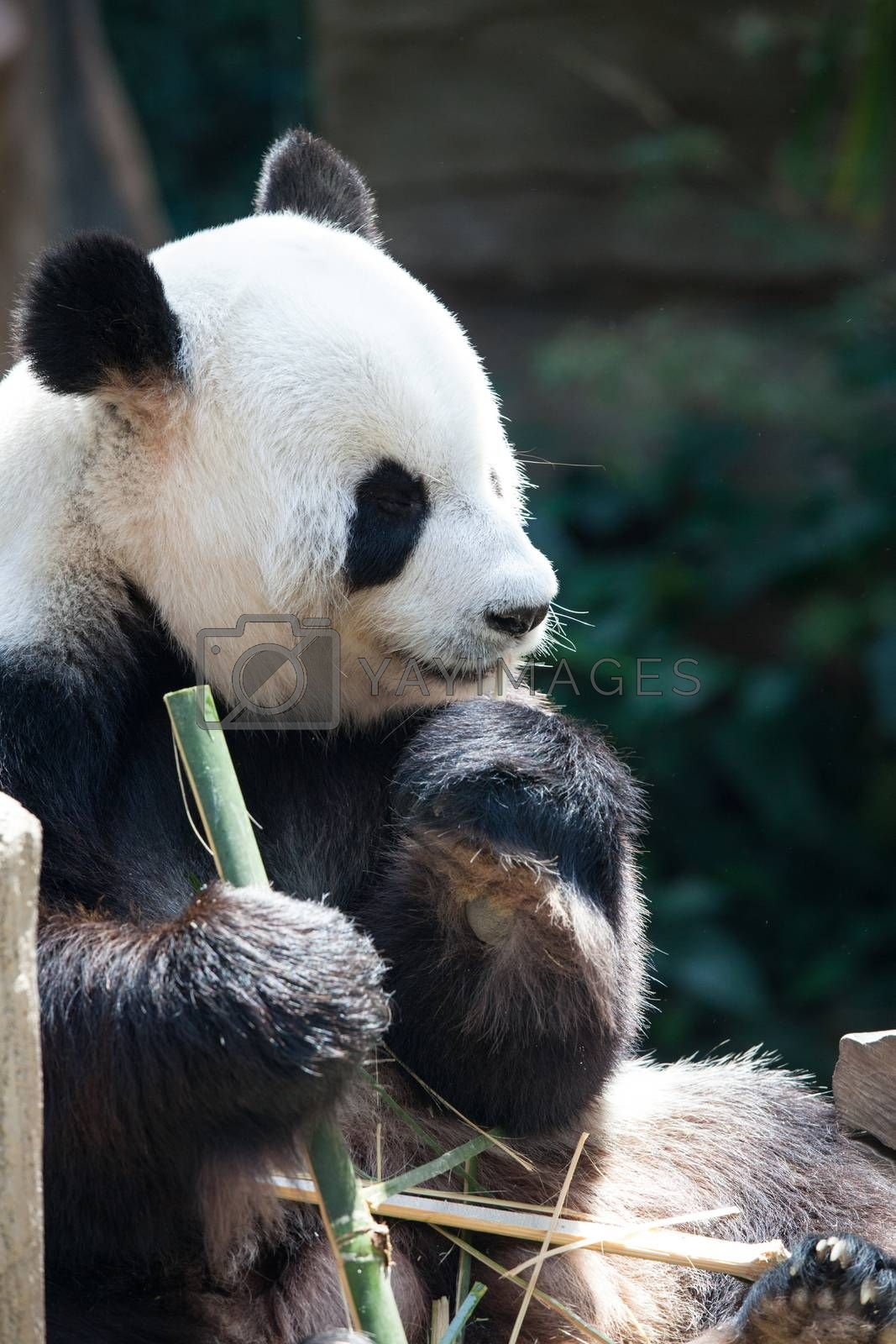 Close up portrait of Panda Bear enjoy eating bamboo with eyes closed