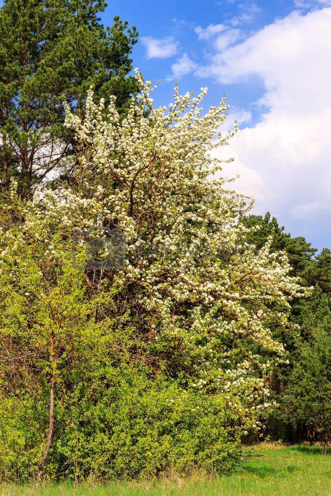 pear tree with flowers at spring season, May