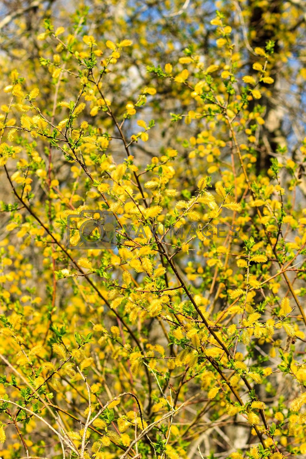 yellow willow branch at spring season at Russia