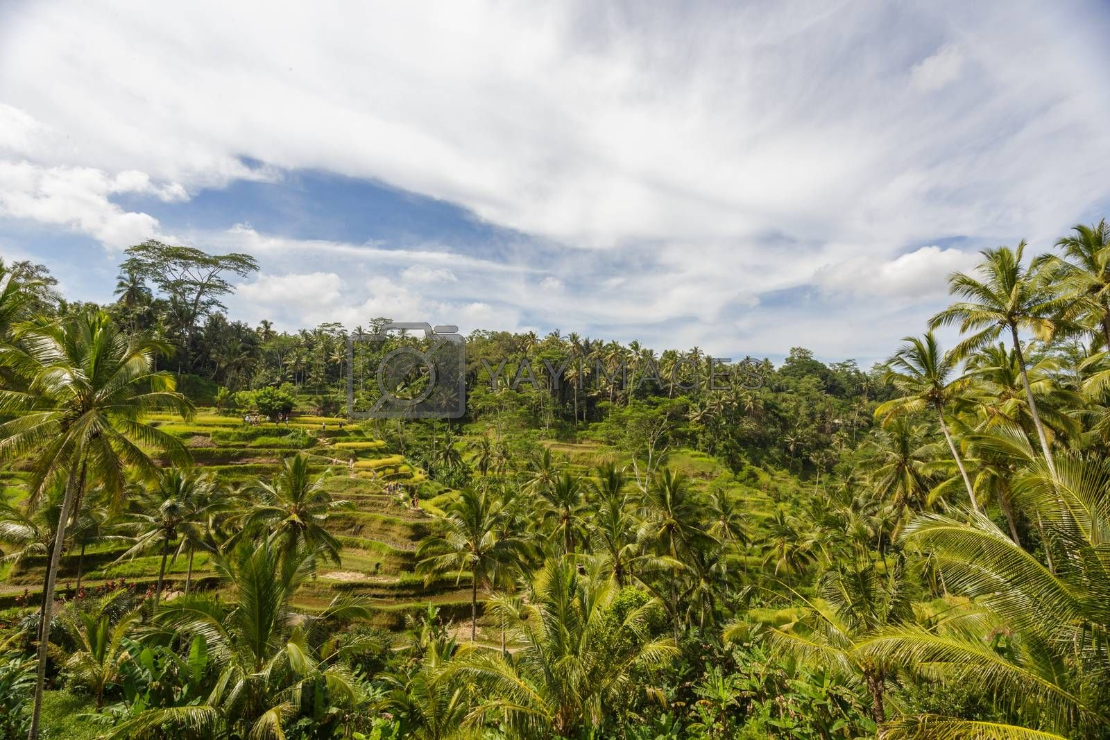 Beautiful Green cascade rice fields on Bali island, Jatiluwih near Ubud, Indonesia