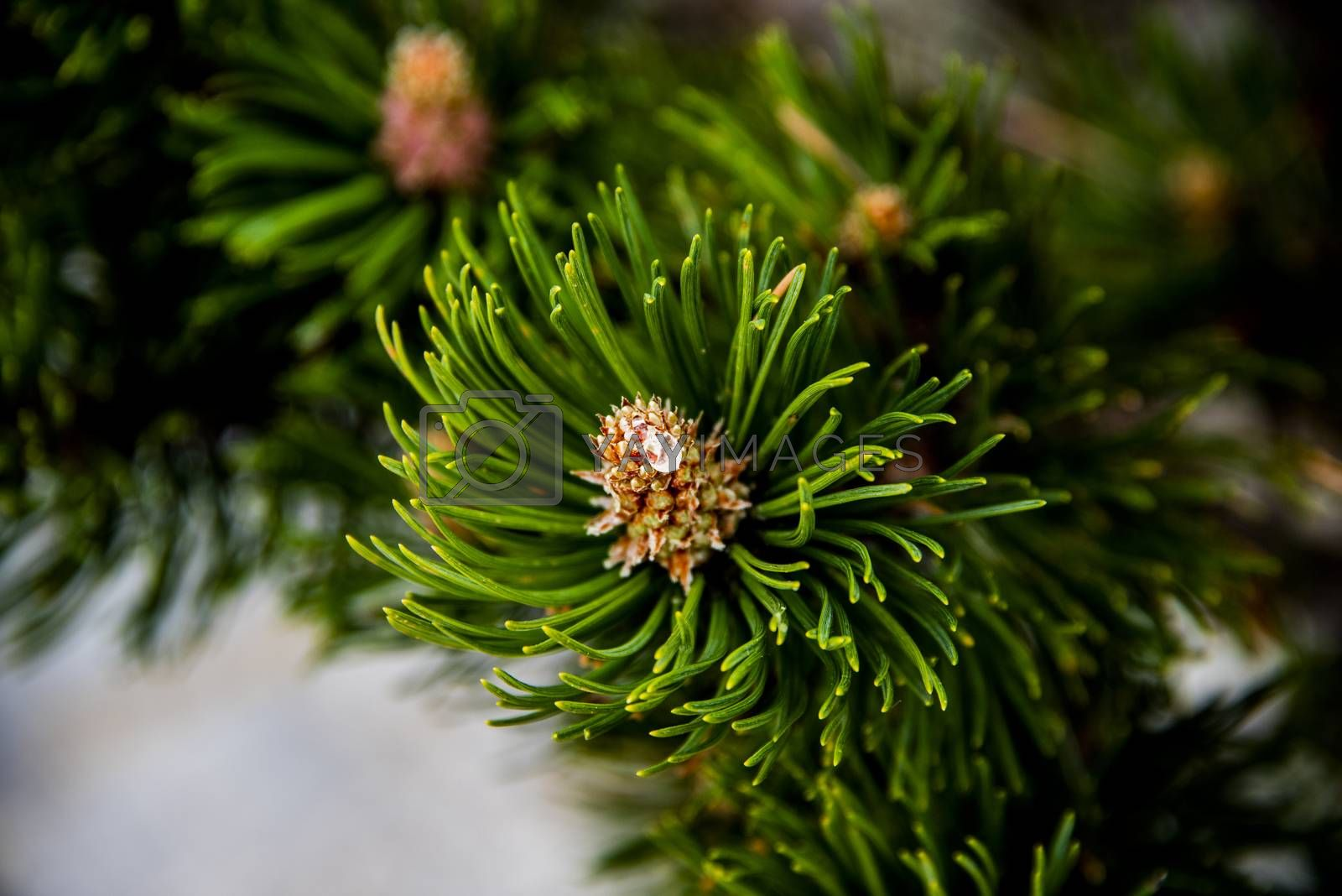 close up of a pine cone of a wild mountain pine in Monte Baldo near Lake Garda, Verona, Italy