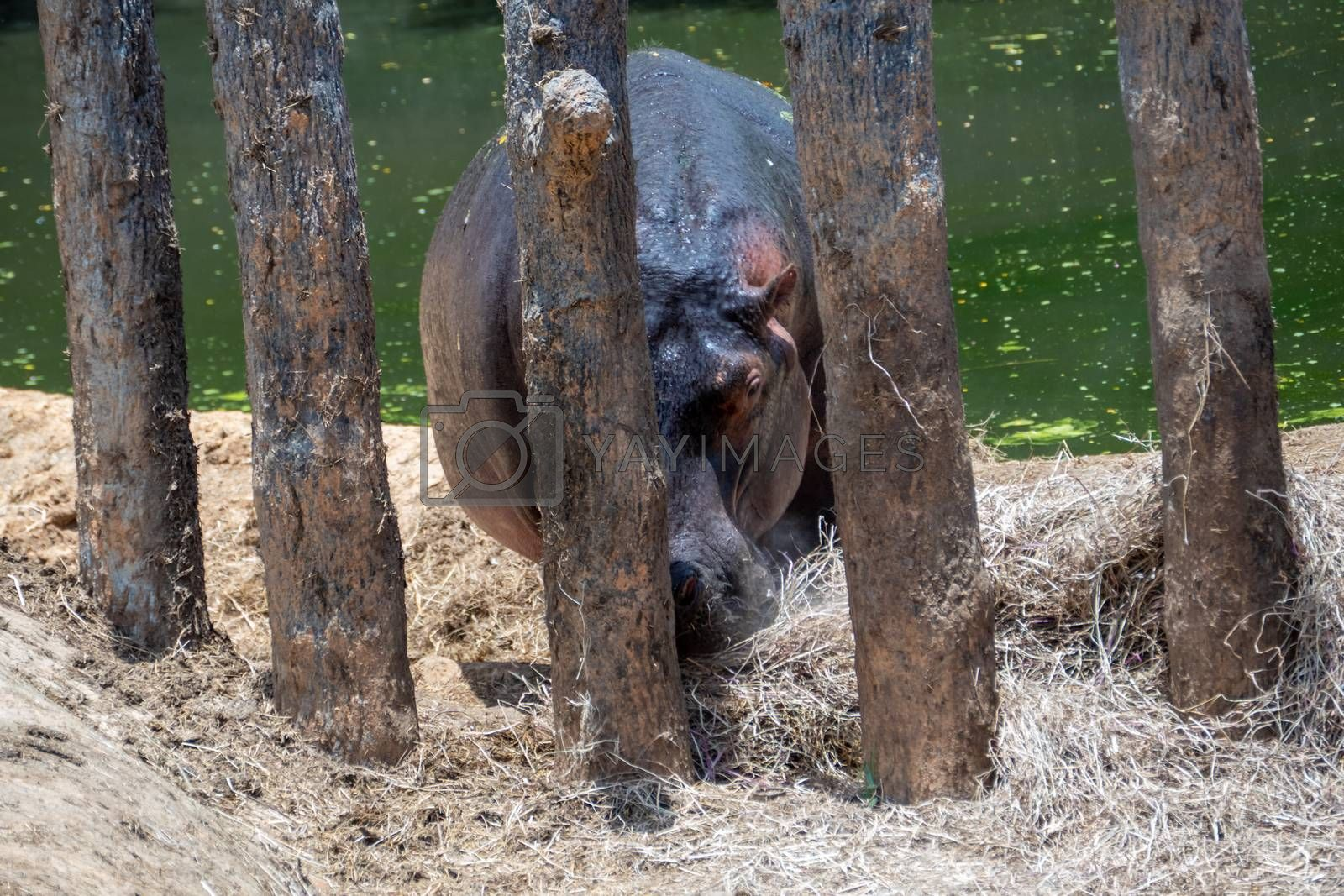 Rhinoceros in enlosed area by lake
