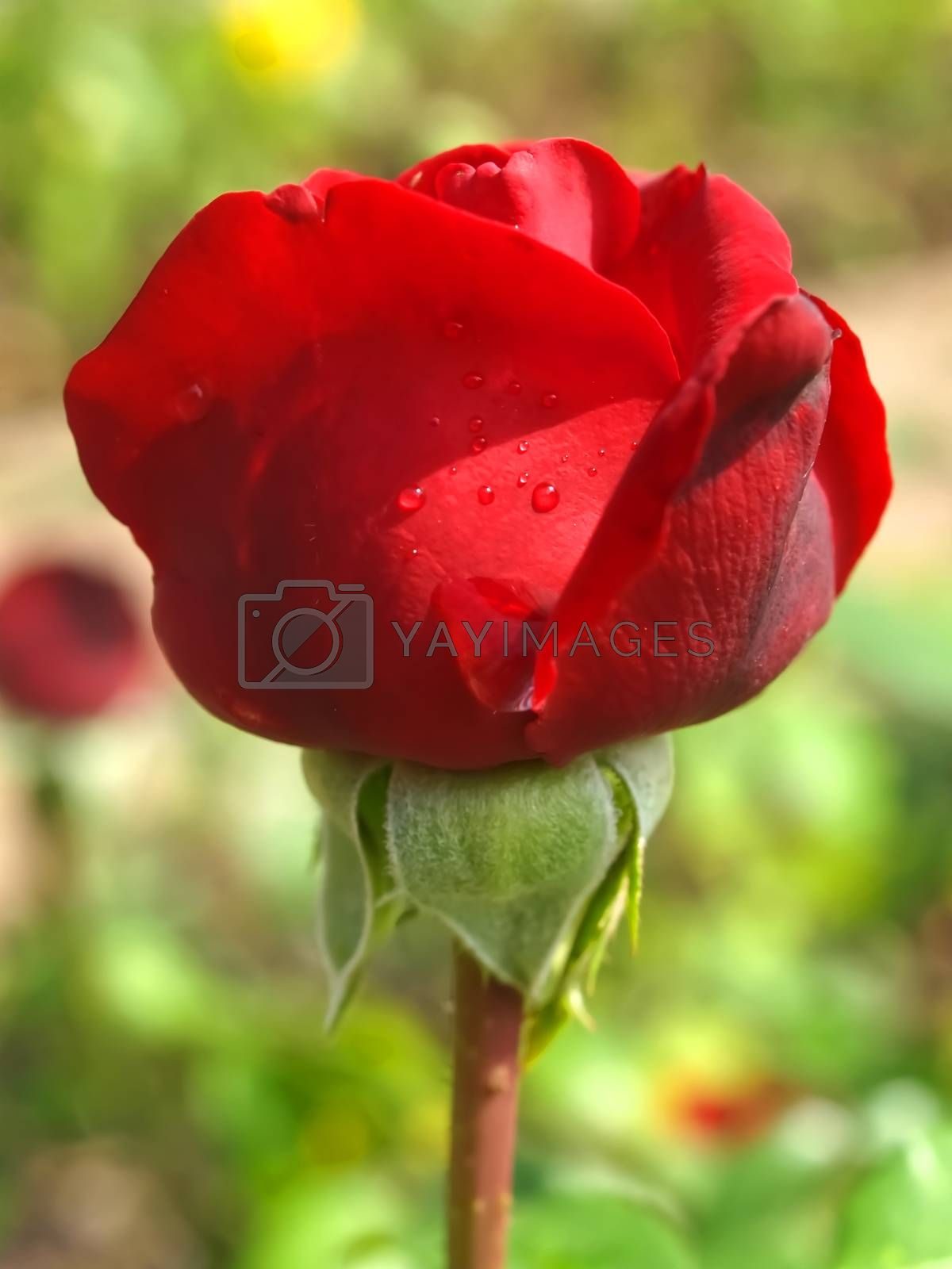 Macro of a isolated red rose with water drops