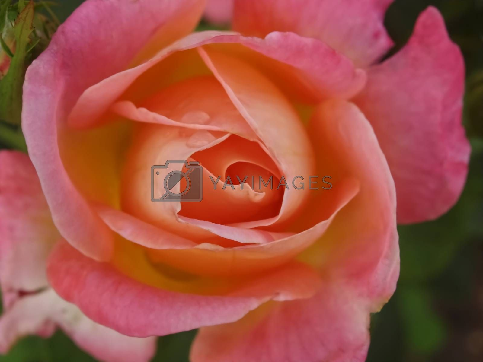 Macro of a isolated pink rose with water drops